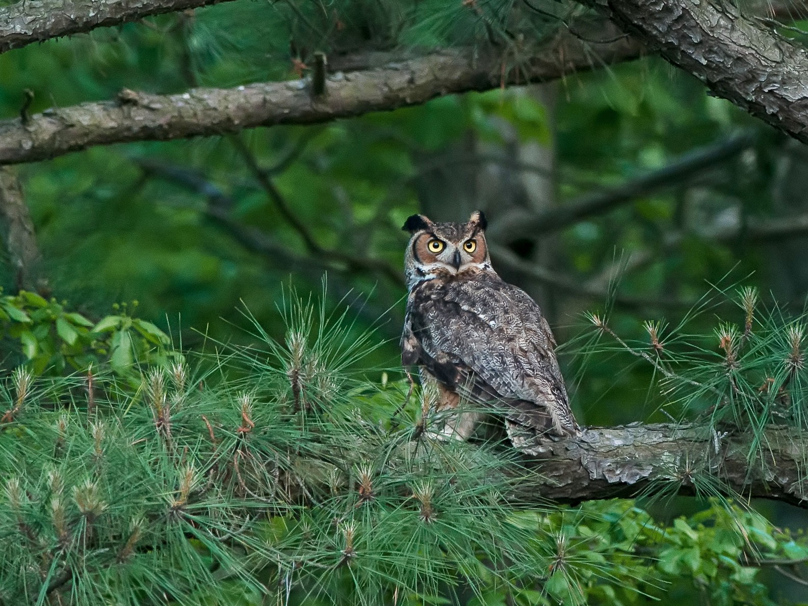 Great Horned Owl - Marty DeAngelo