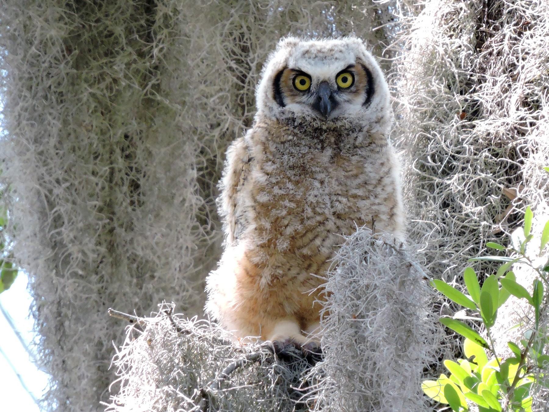 Great Horned Owl - Bob Lane