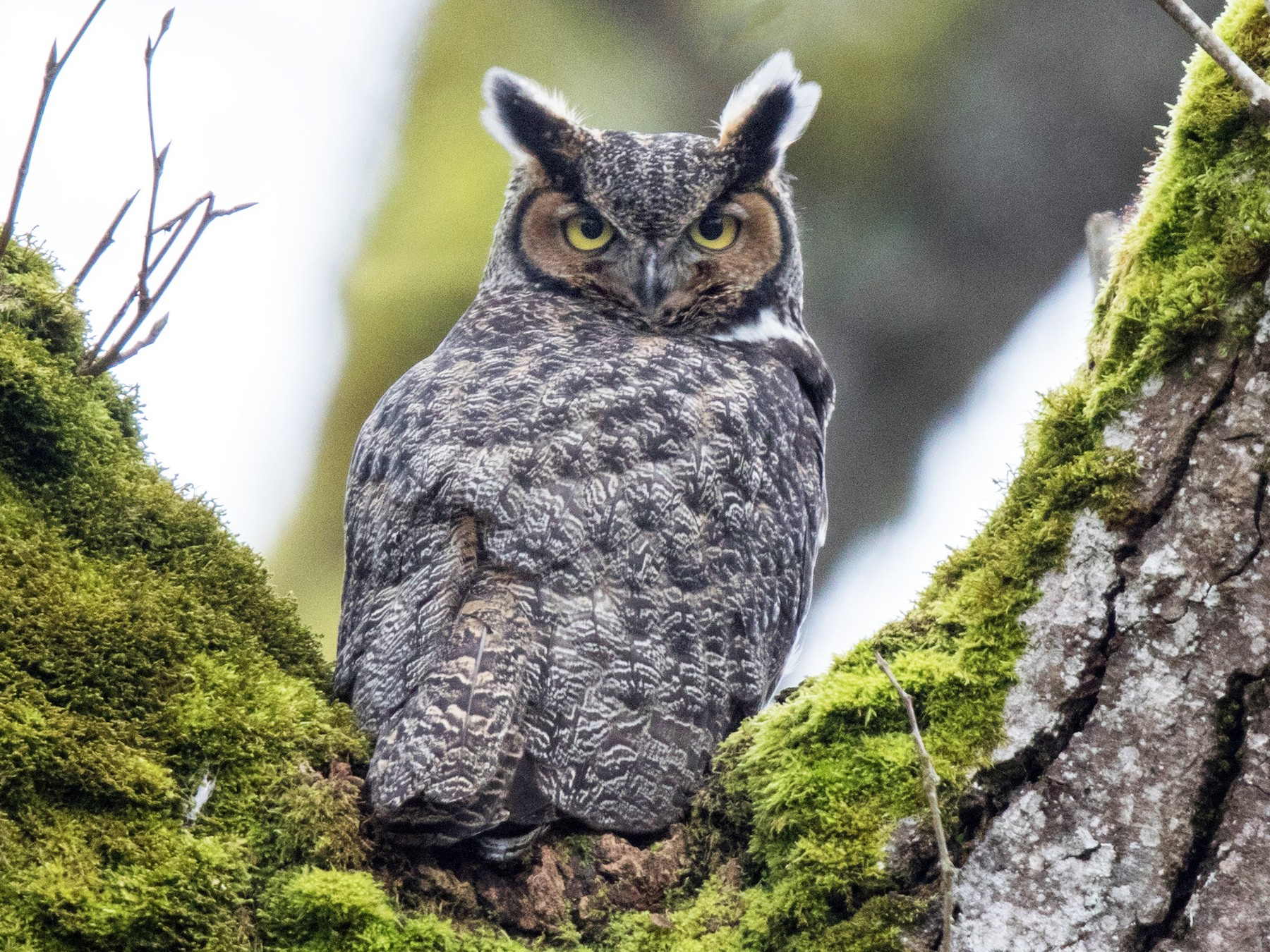 Great Horned Owl - Tony Varela