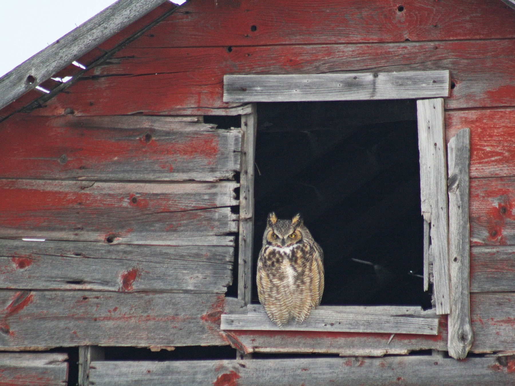 Great Horned Owl - Irene Crosland