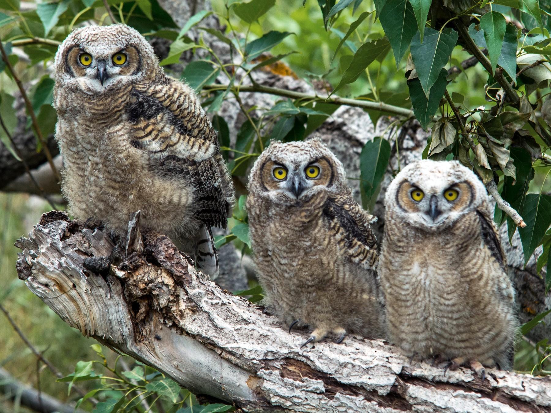 Great Horned Owl - Joshua Little