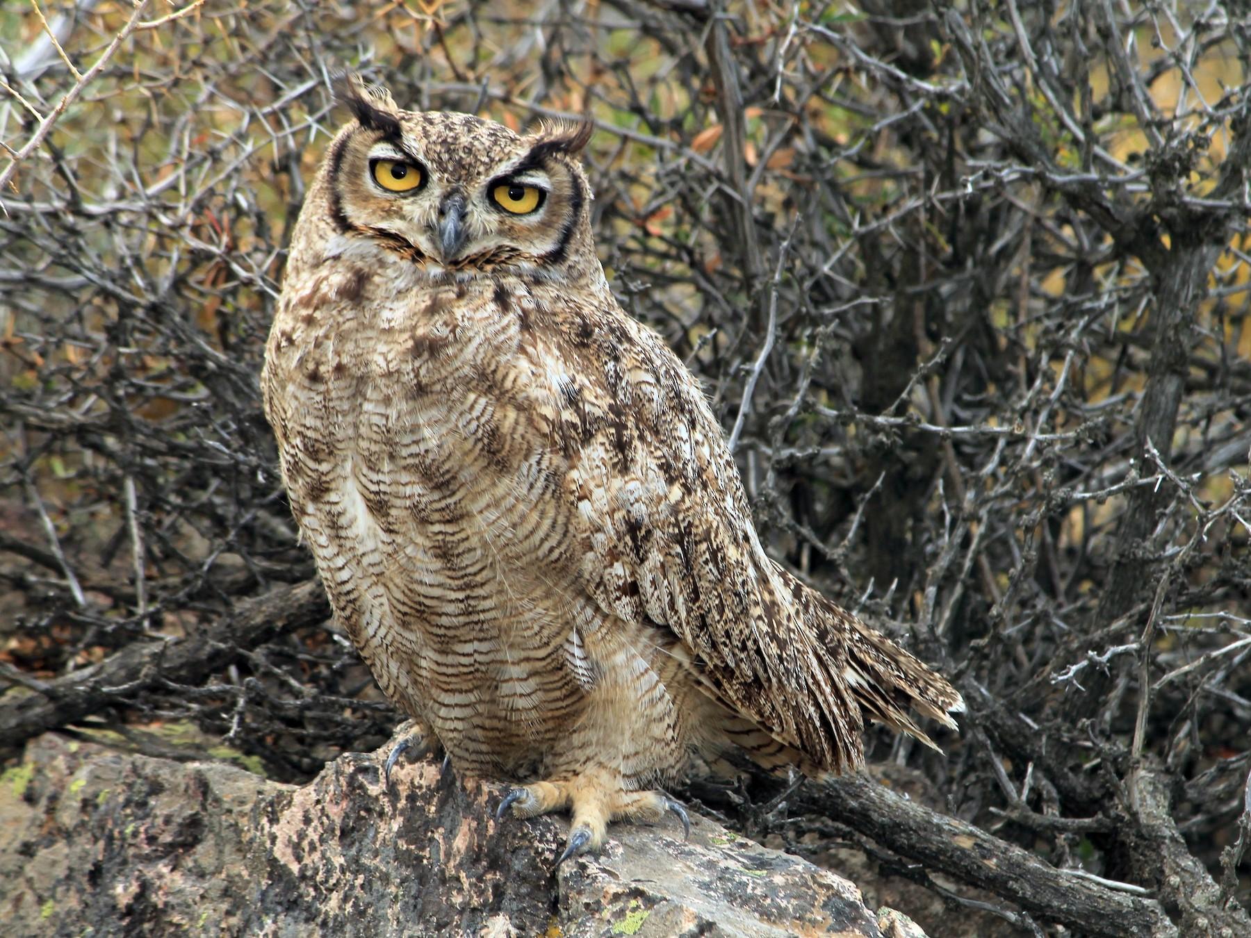 Great Horned Owl - Gustavo Vargas