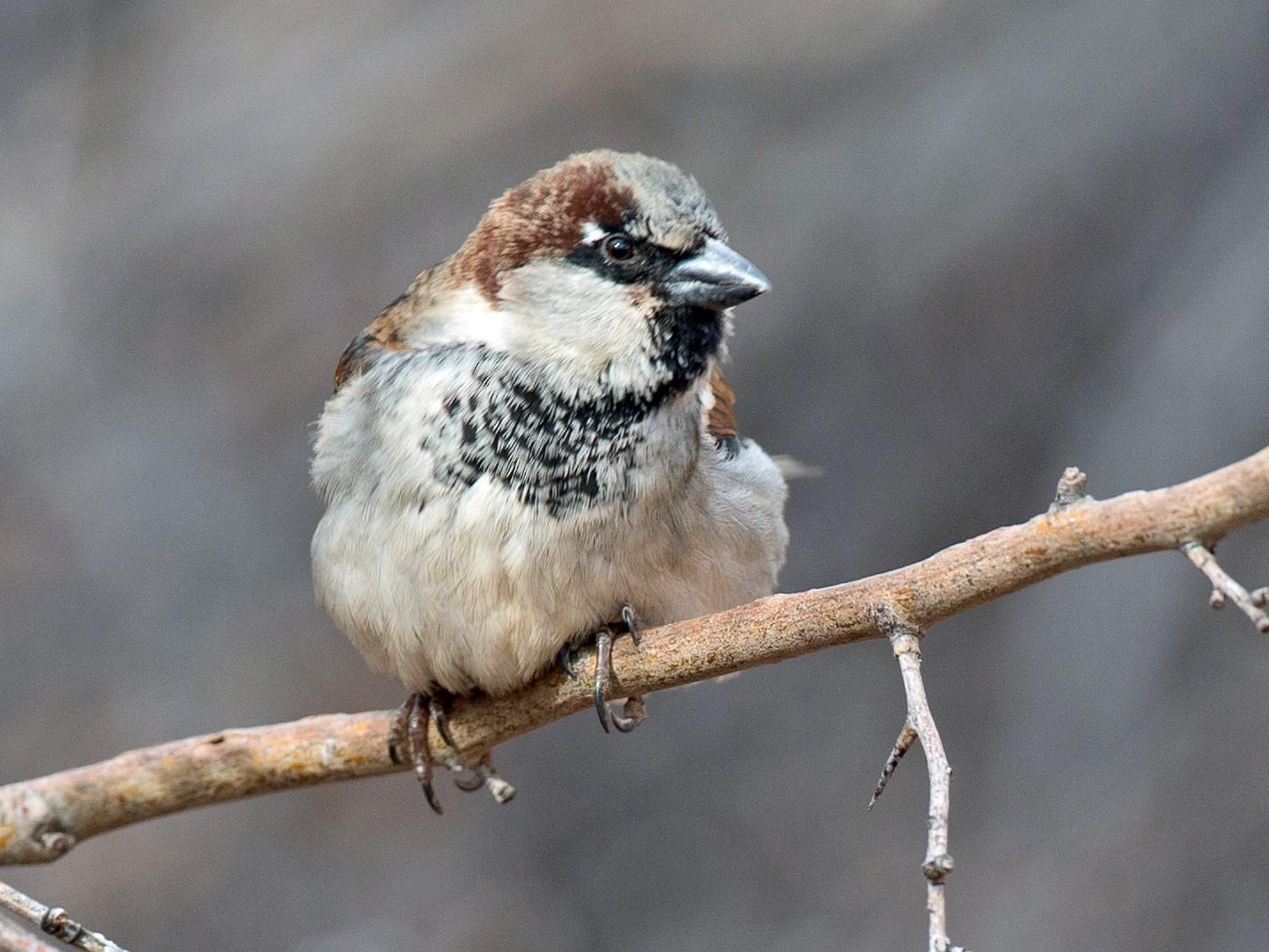 House Sparrow - Chris Wood