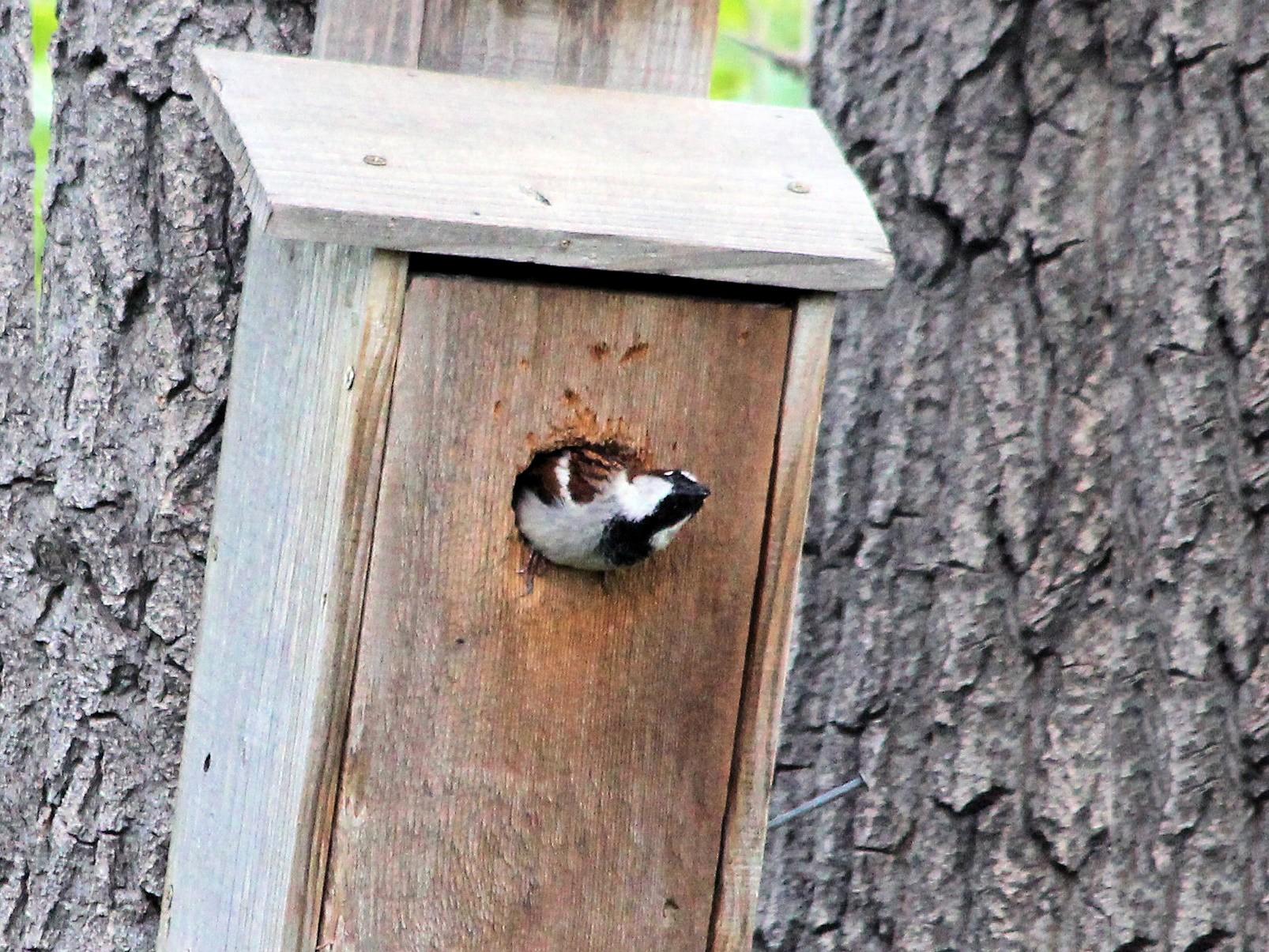 House Sparrow - Lorraine Lanning