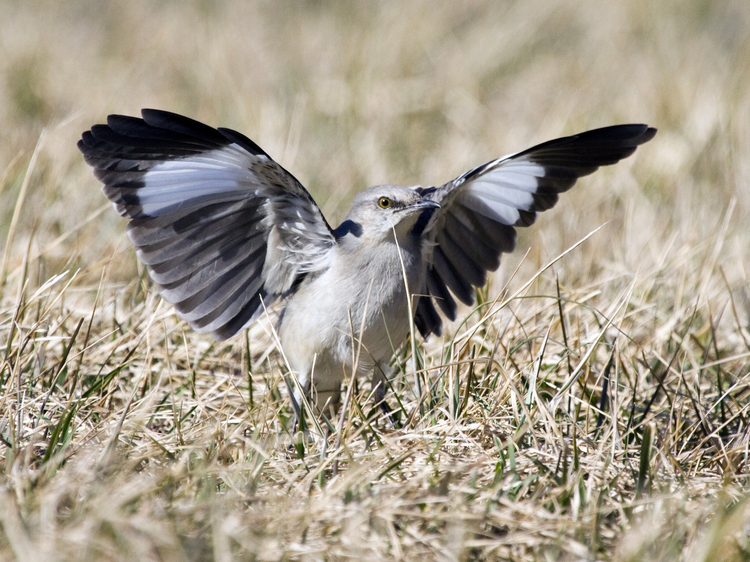 Northern Mockingbird - Gordon Dimmig