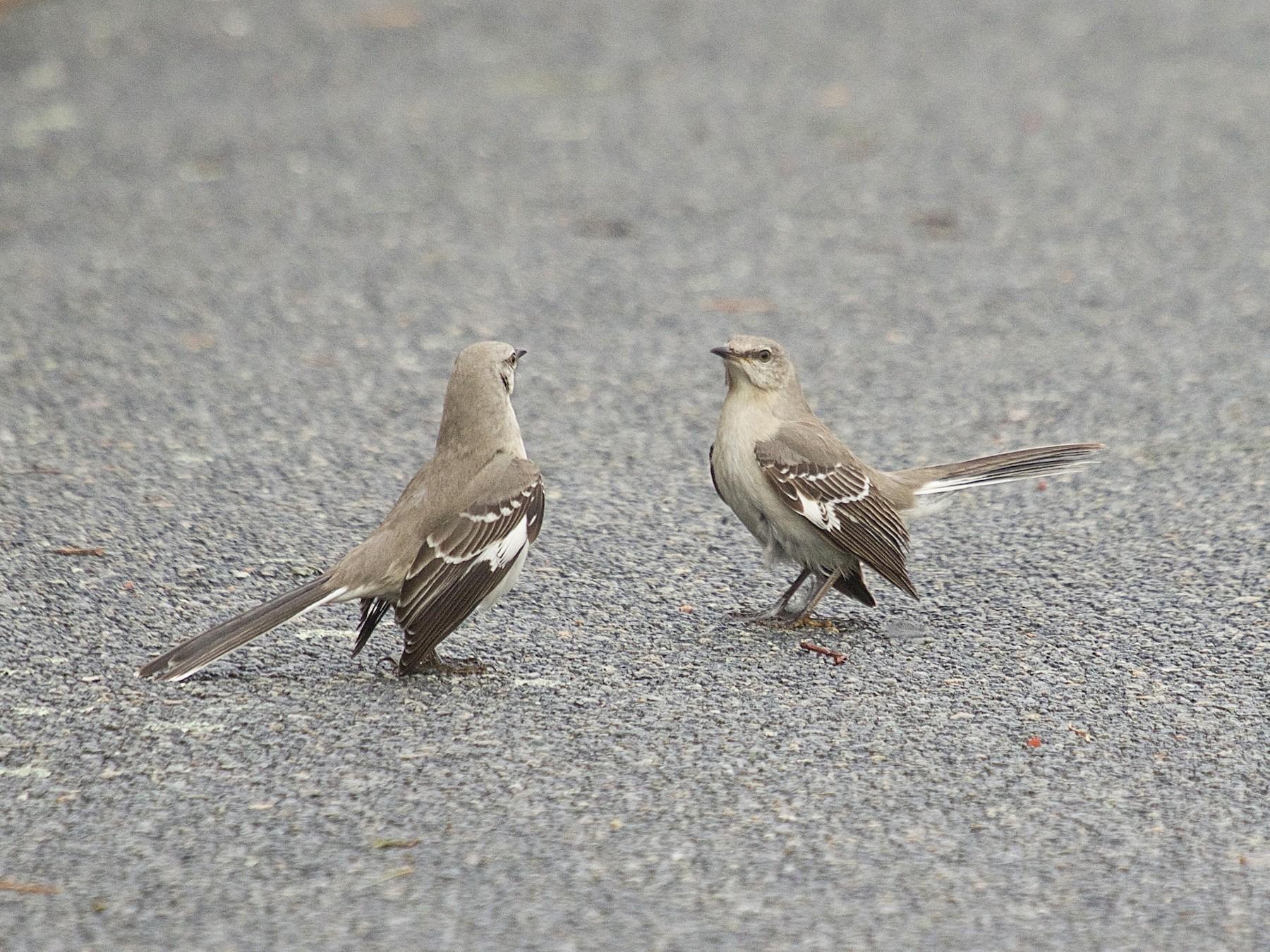 Northern Mockingbird - Mary Keleher