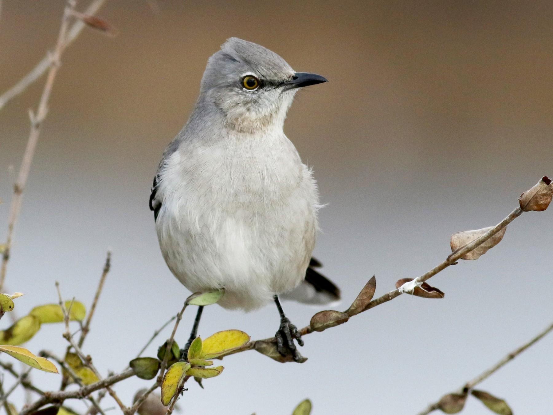 Northern Mockingbird - Jay McGowan