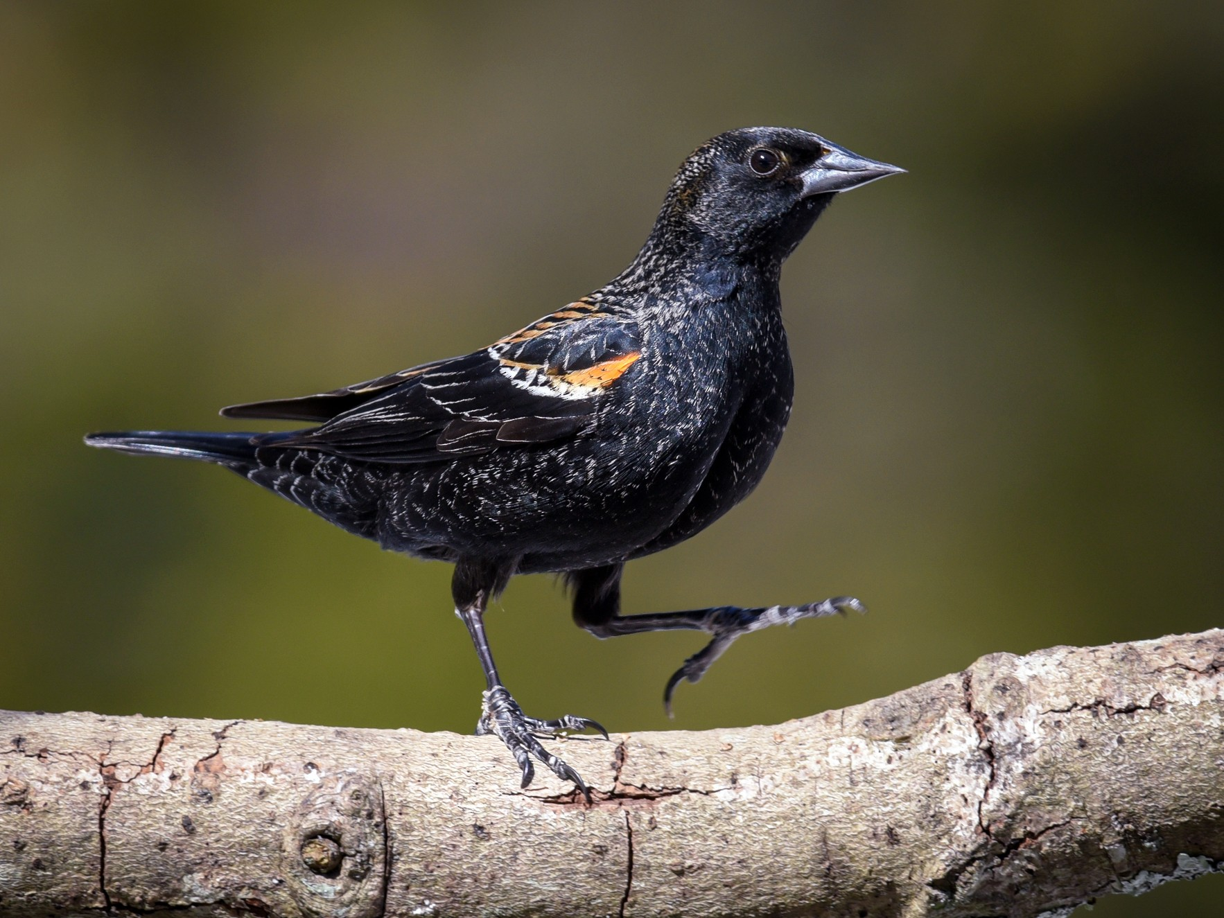 Red-winged Blackbird - Scott Martin