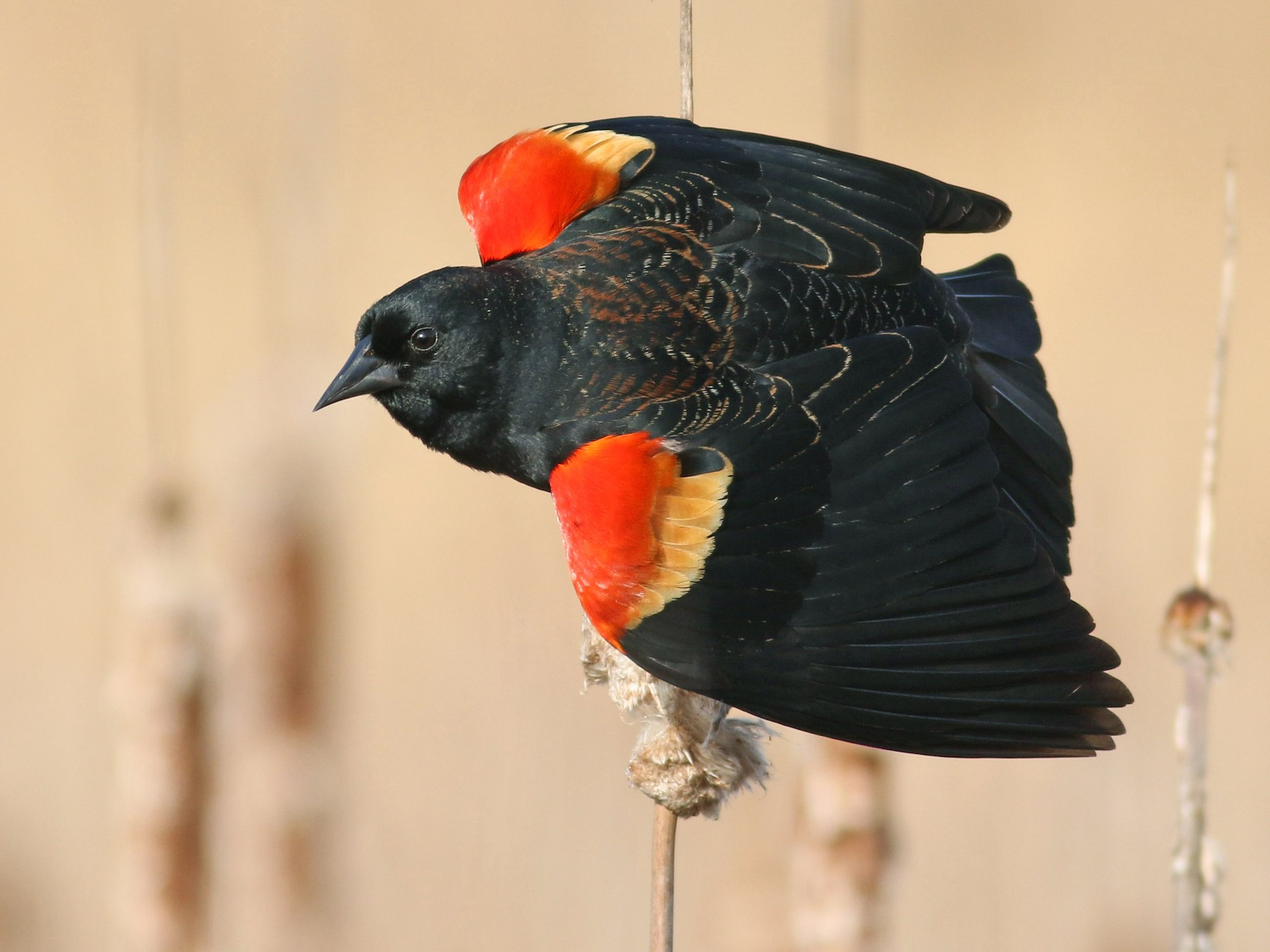 Red-winged Blackbird - Jonathan Eckerson