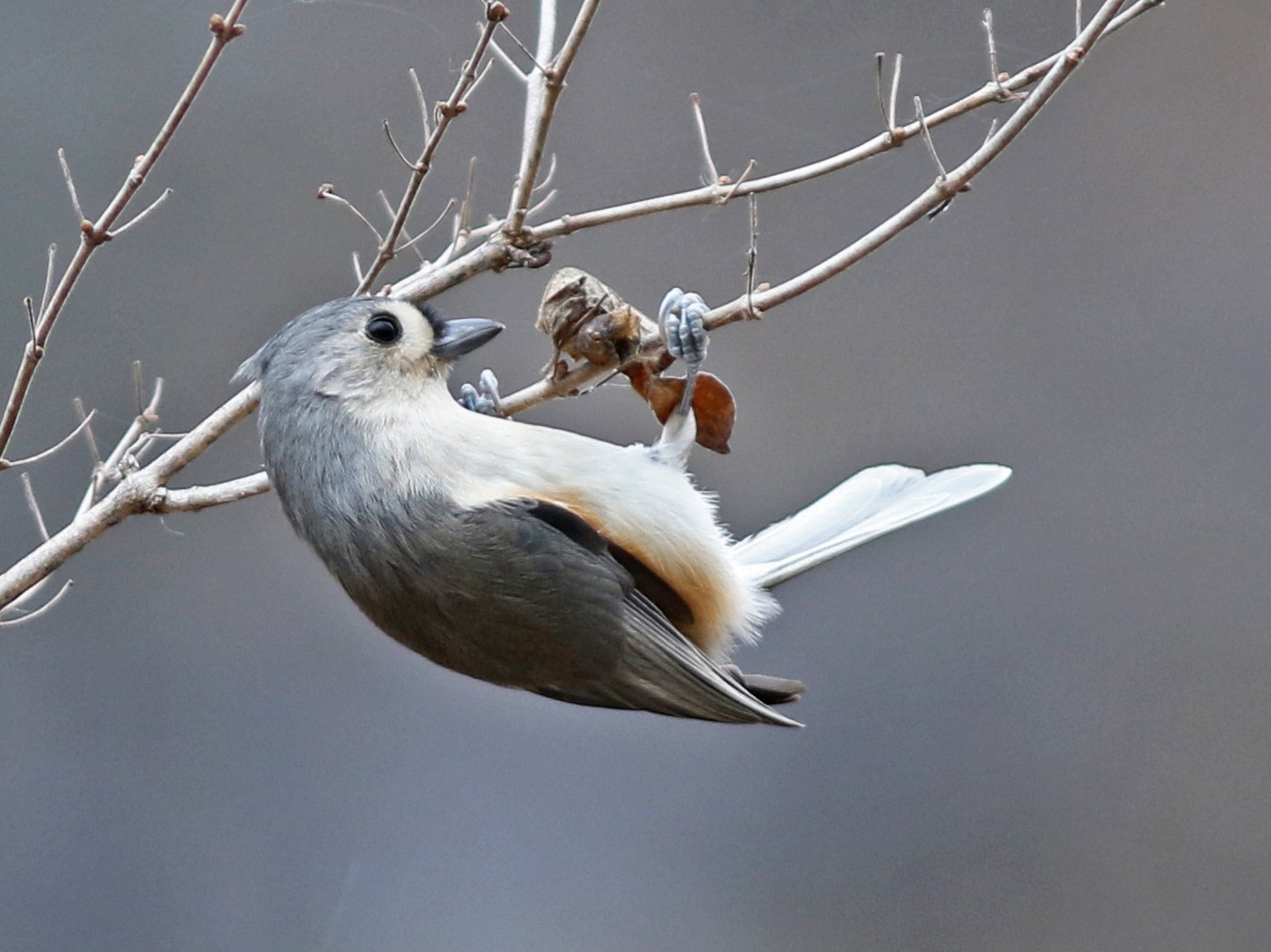 Tufted Titmouse - Mark Patry