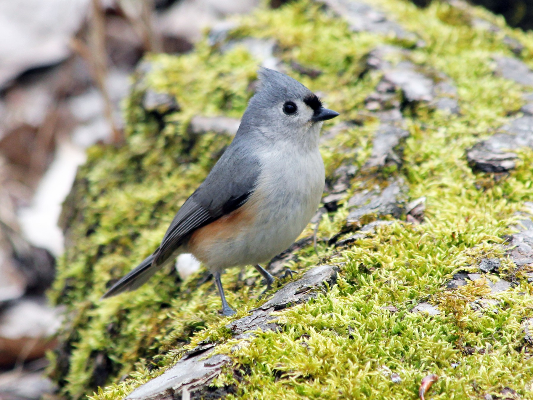 Tufted Titmouse - Jesse White