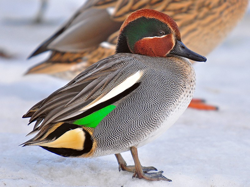Green-winged Teal - Guido Bennen