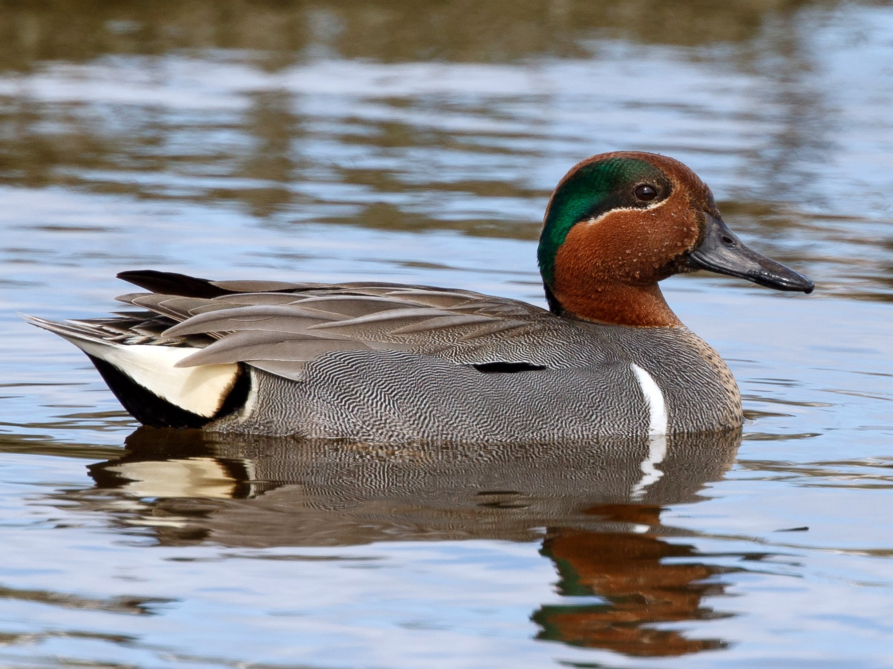 Green-winged Teal - Jeff Stacey