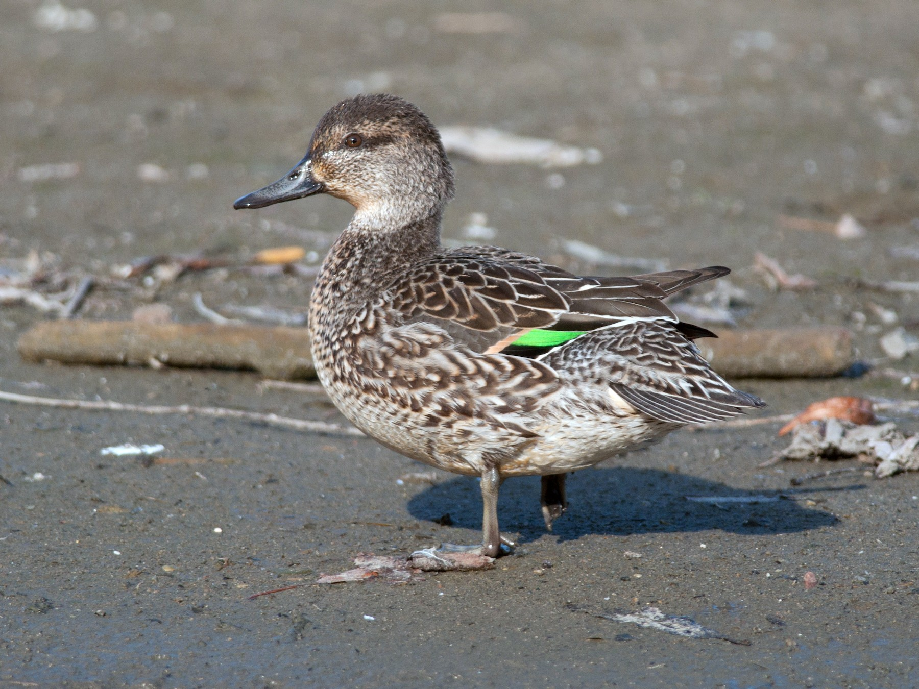 Green-winged Teal - Amanda Guercio