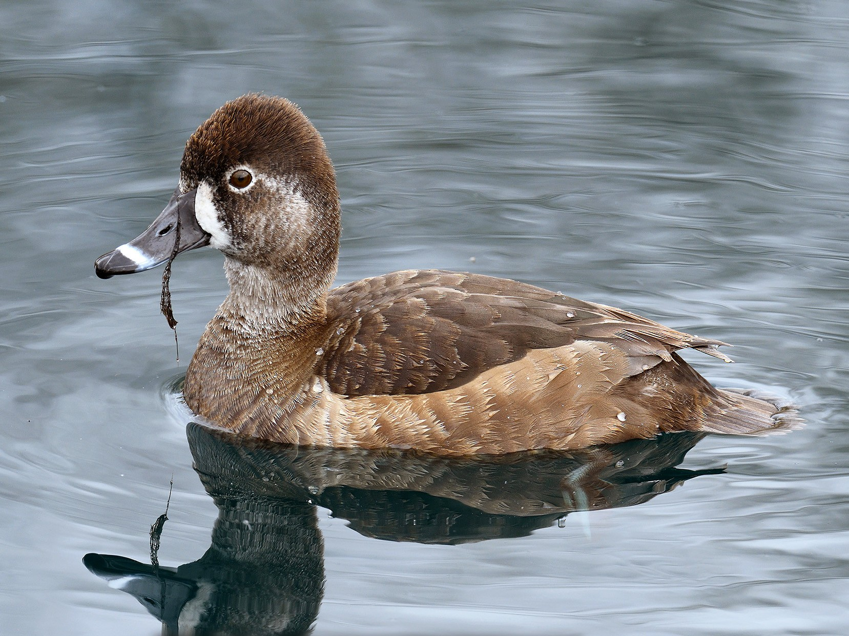 Ring-necked Duck - terence zahner