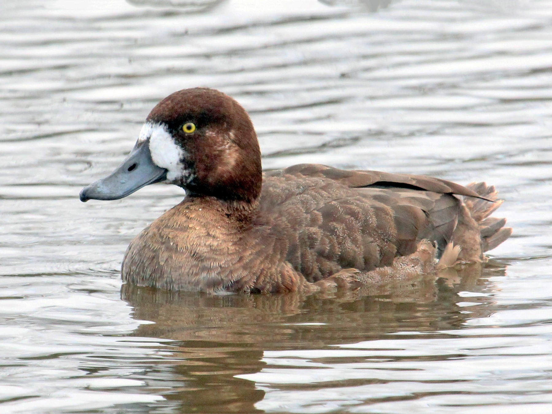 Greater Scaup - Mark Scheuerman