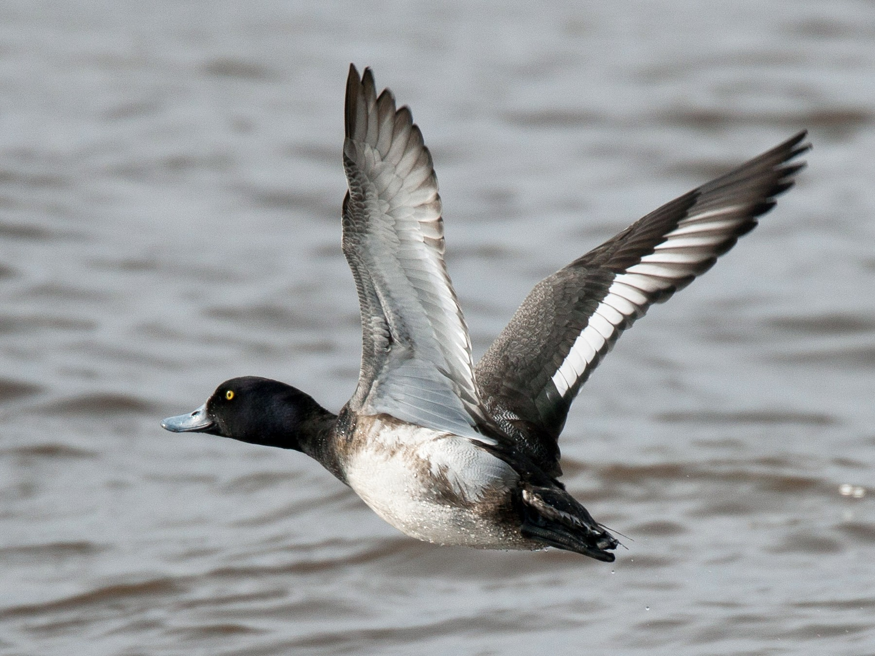 Greater Scaup - Chris Wood
