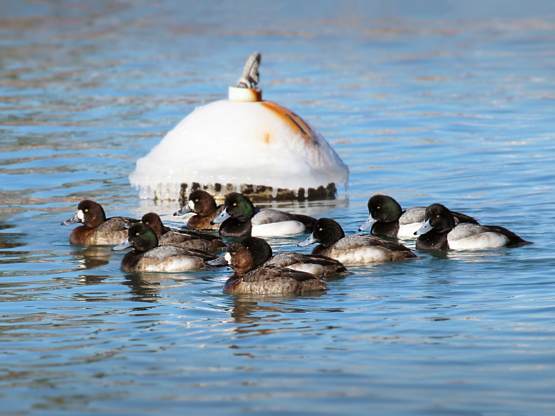 Greater Scaup - Mike Schanbacher