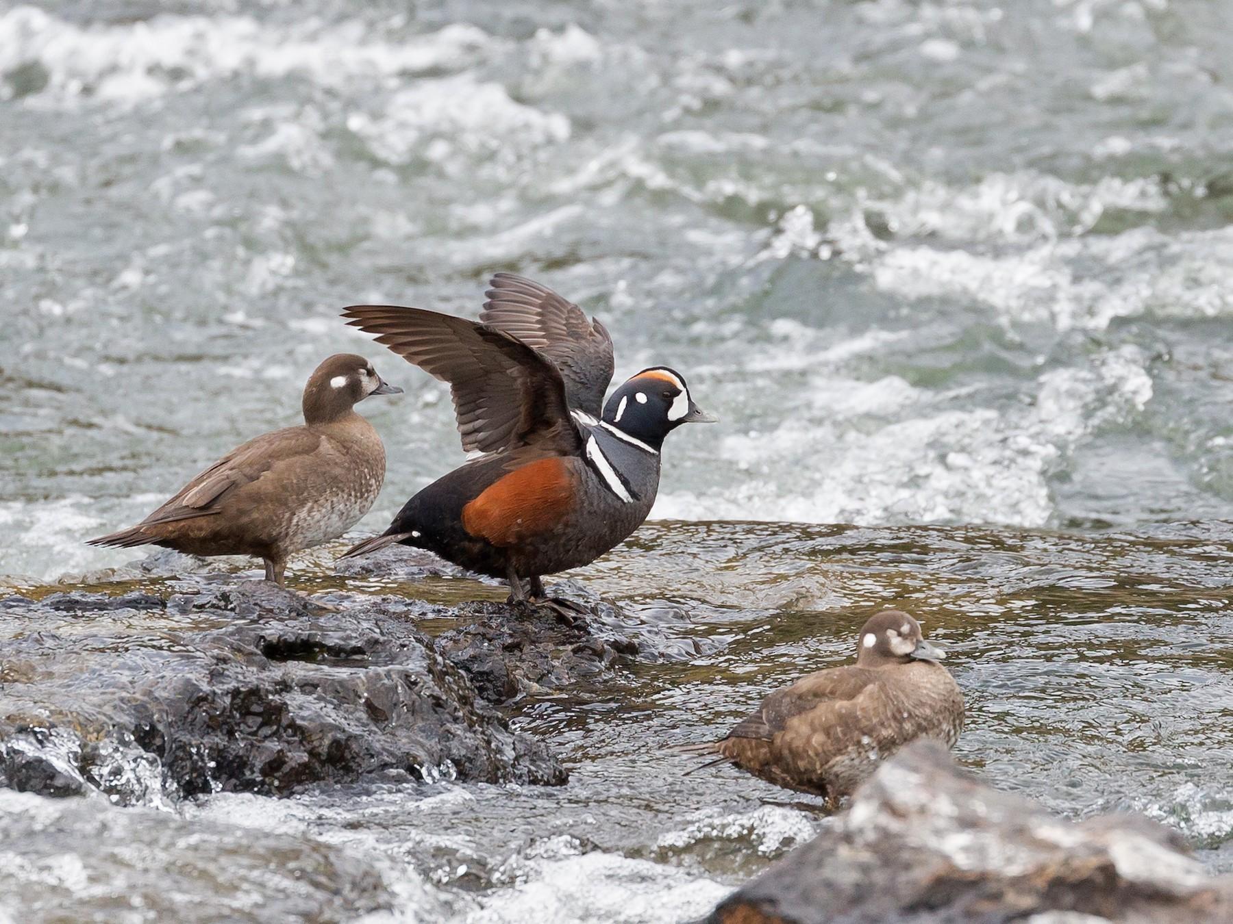 Harlequin Duck - Darren Clark