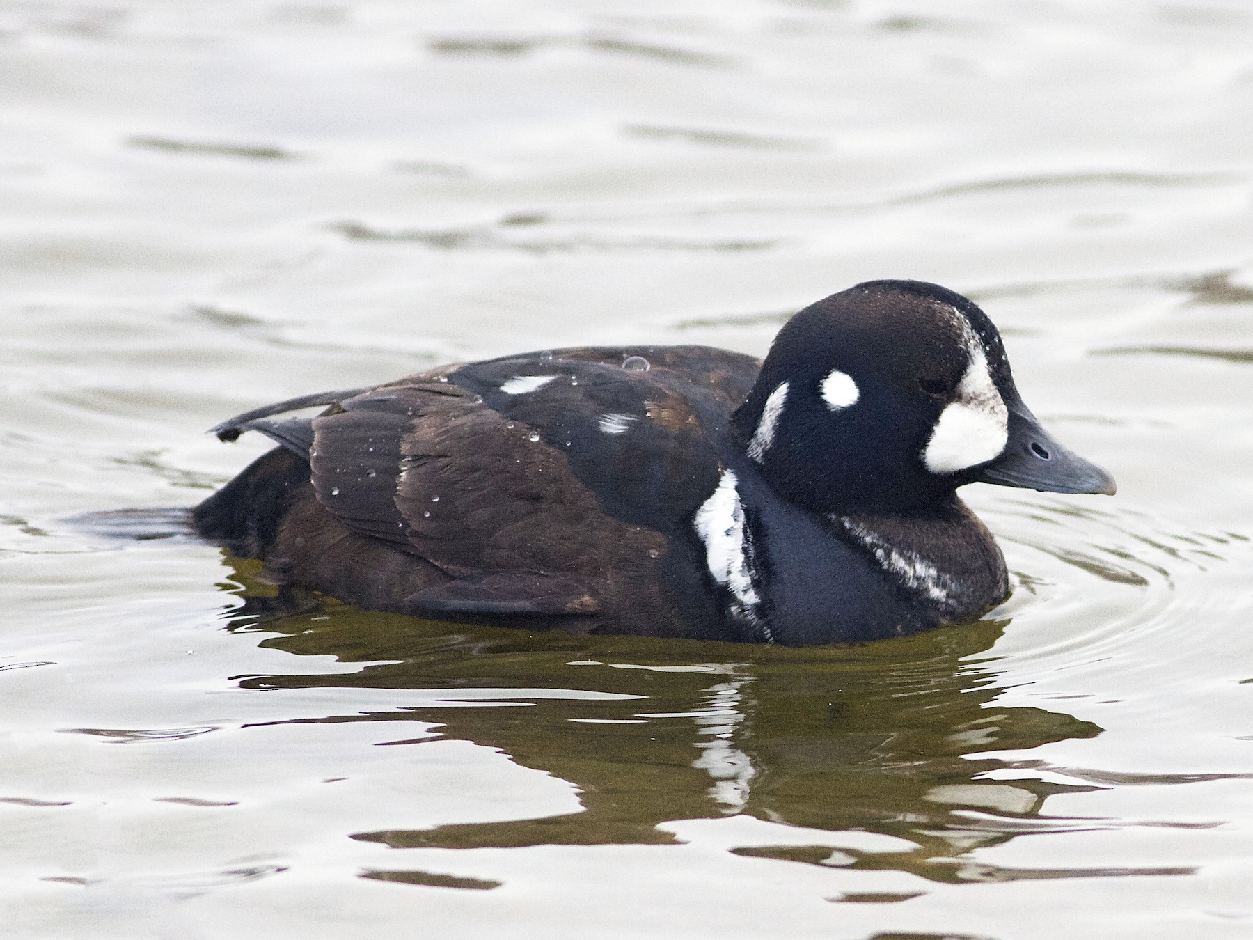Harlequin Duck - Marc North