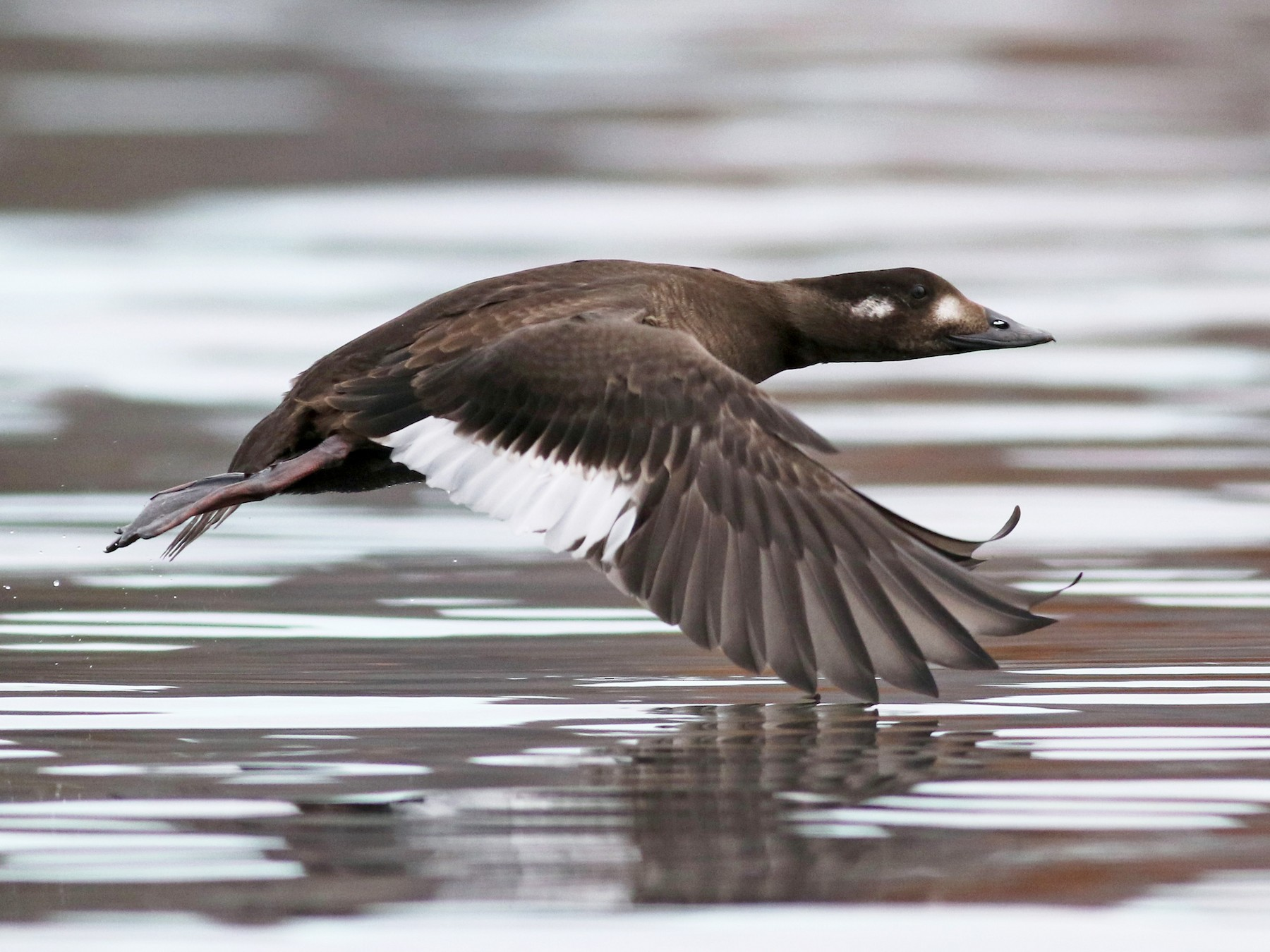 White-winged Scoter - Jay McGowan
