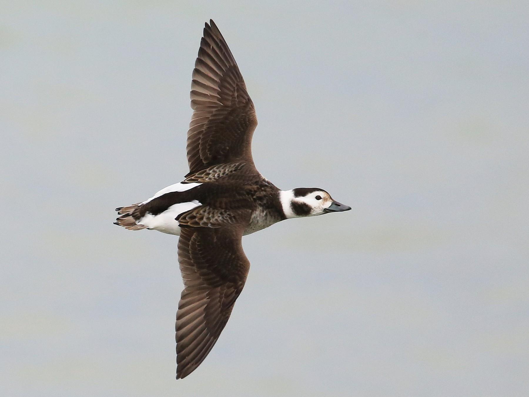 Long-tailed Duck - Tim Lenz
