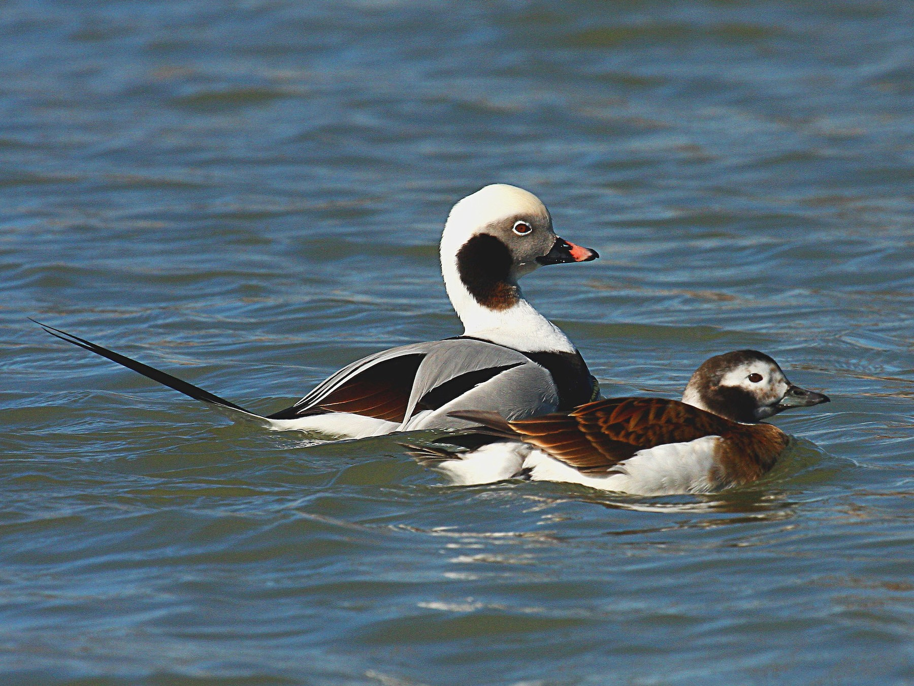 Long-tailed Duck - Jay Ovsiovitch