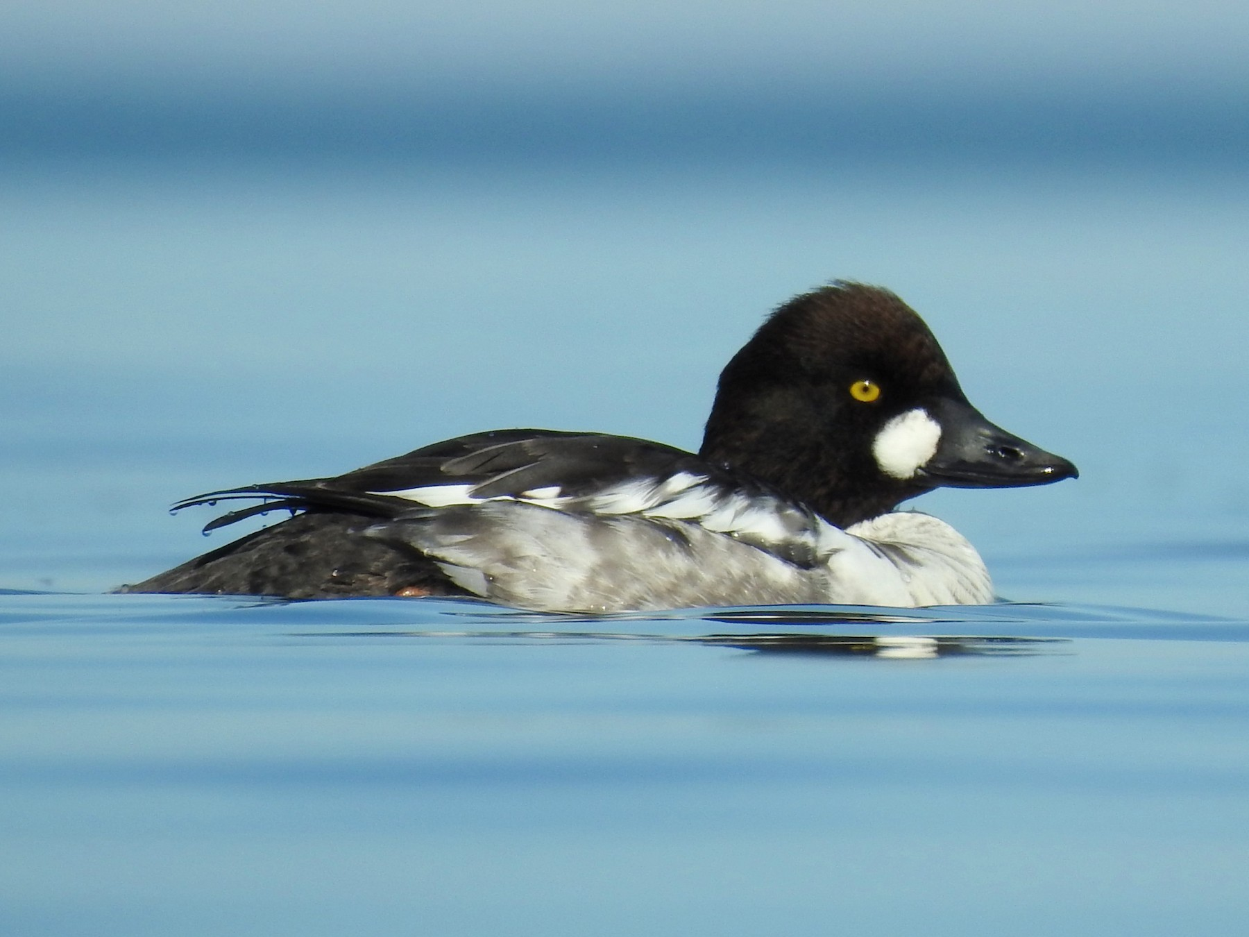 Common Goldeneye - Carl Miller