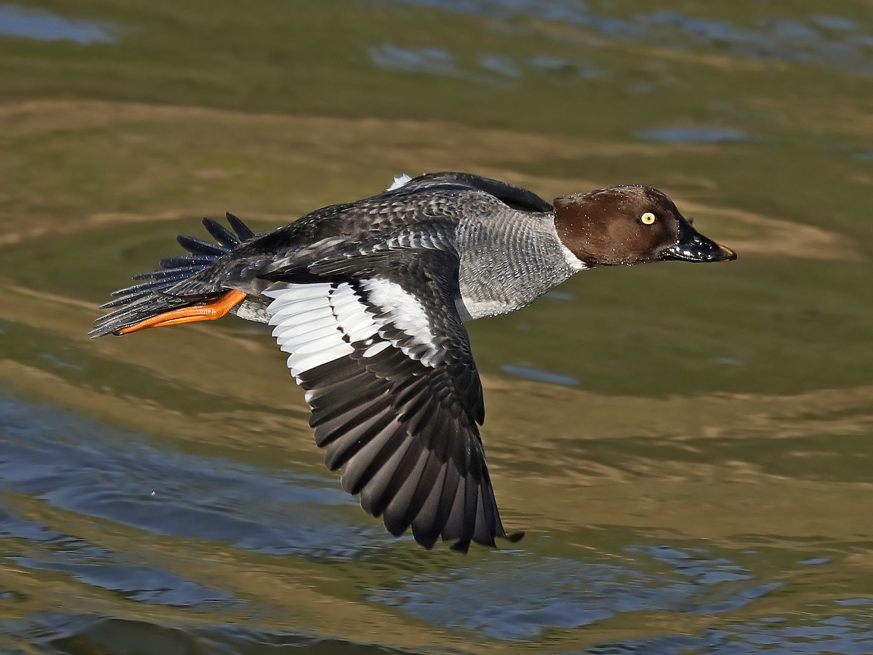 Common Goldeneye - Matt Davis
