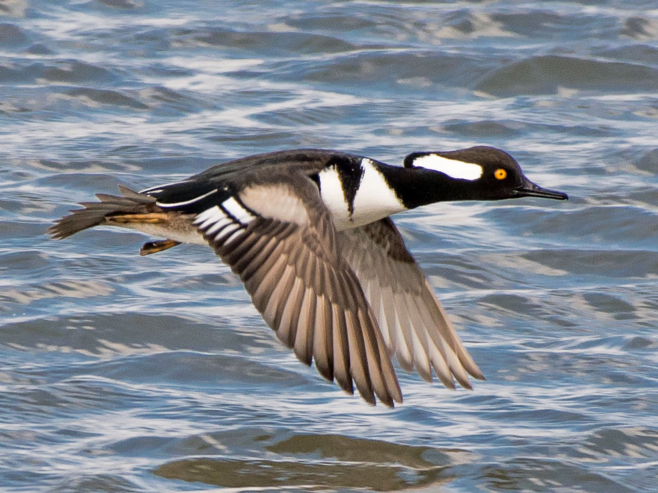Hooded Merganser - Charles Shields
