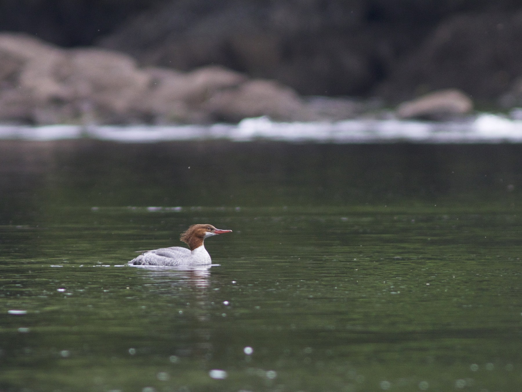 Common Merganser - Doug Hitchcox