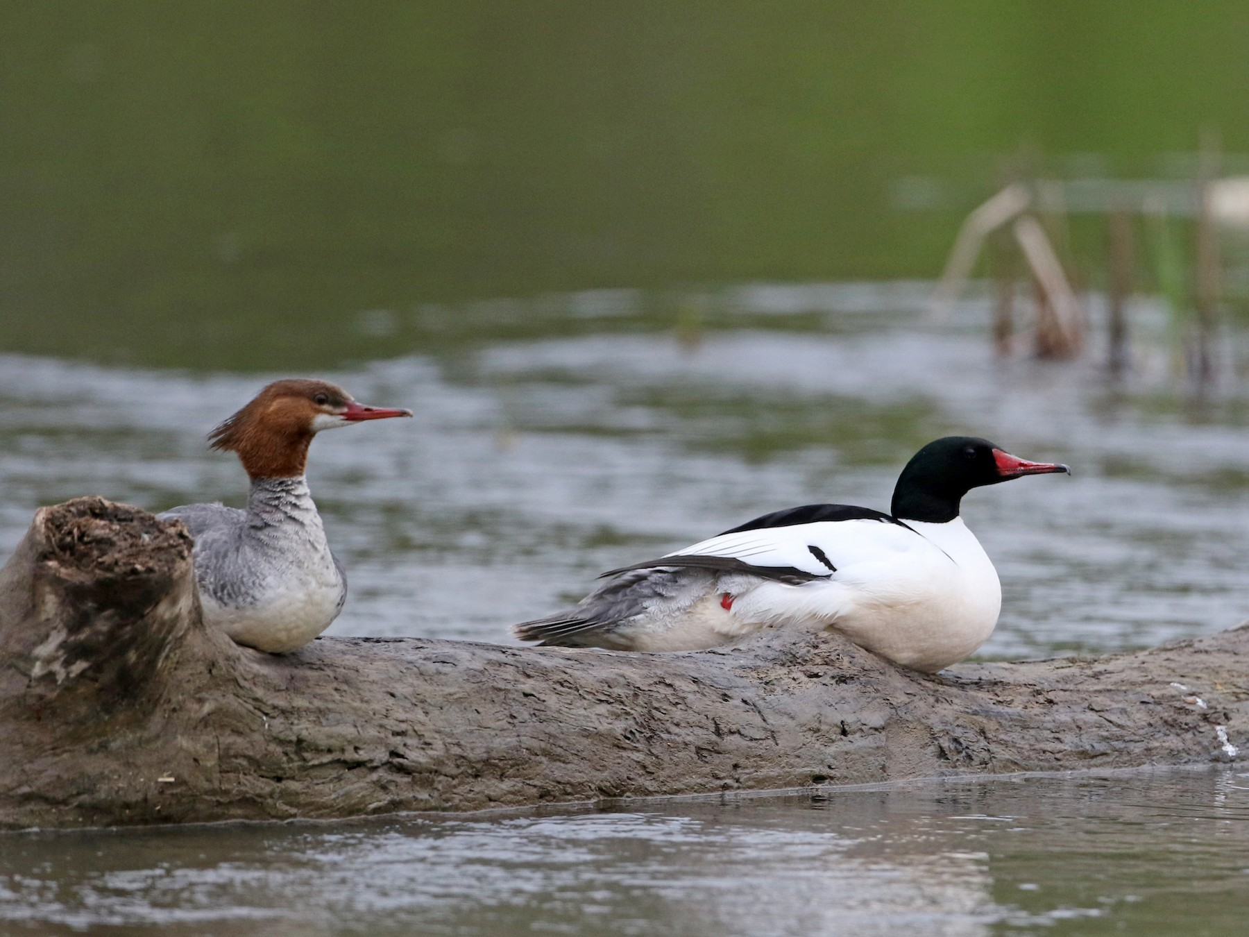 Common Merganser - Jay McGowan