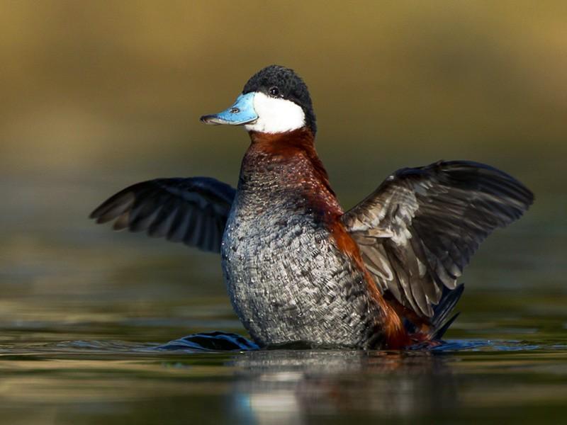 Ruddy Duck - Dorian Anderson