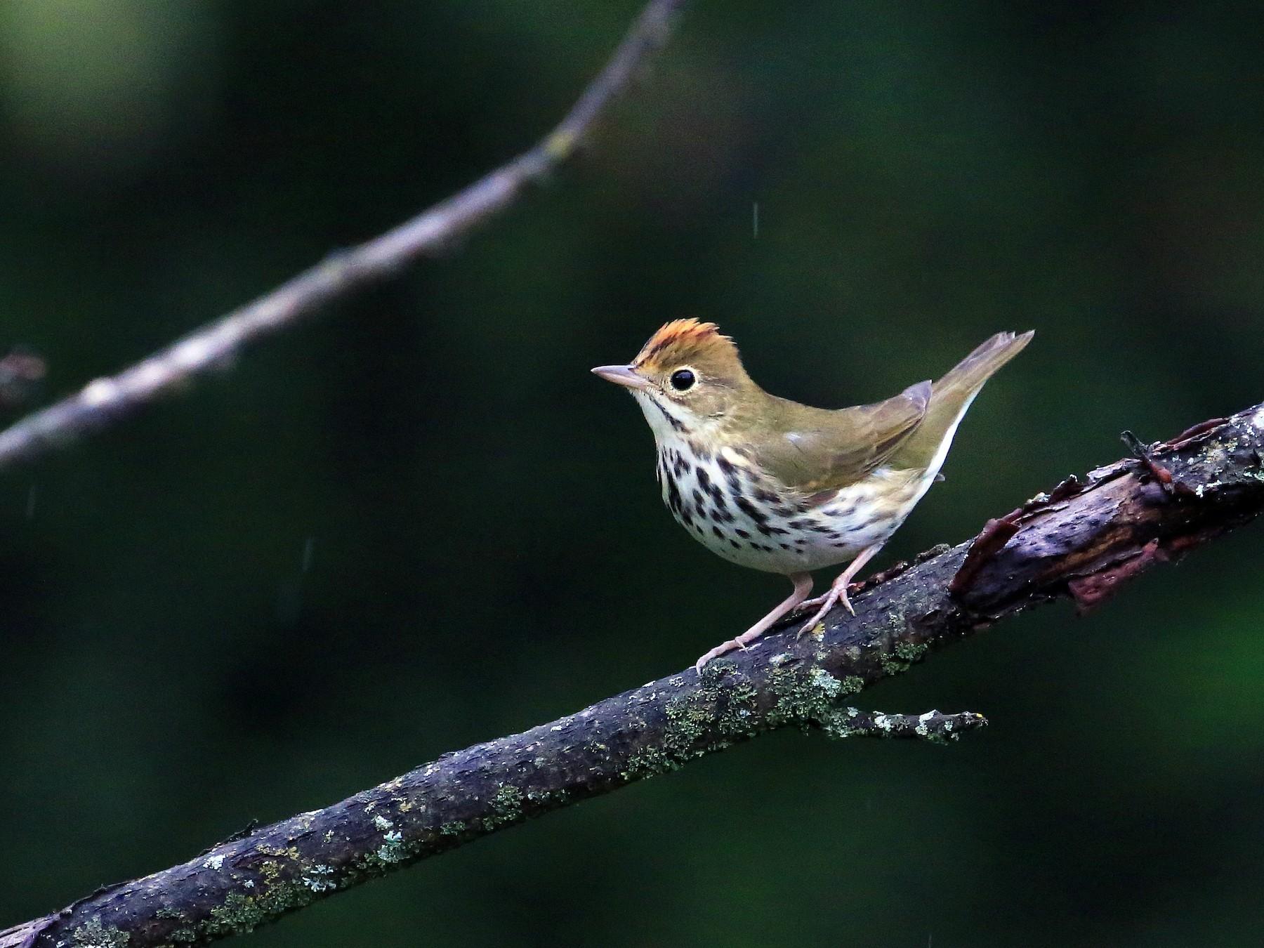 Ovenbird - Tim Lenz