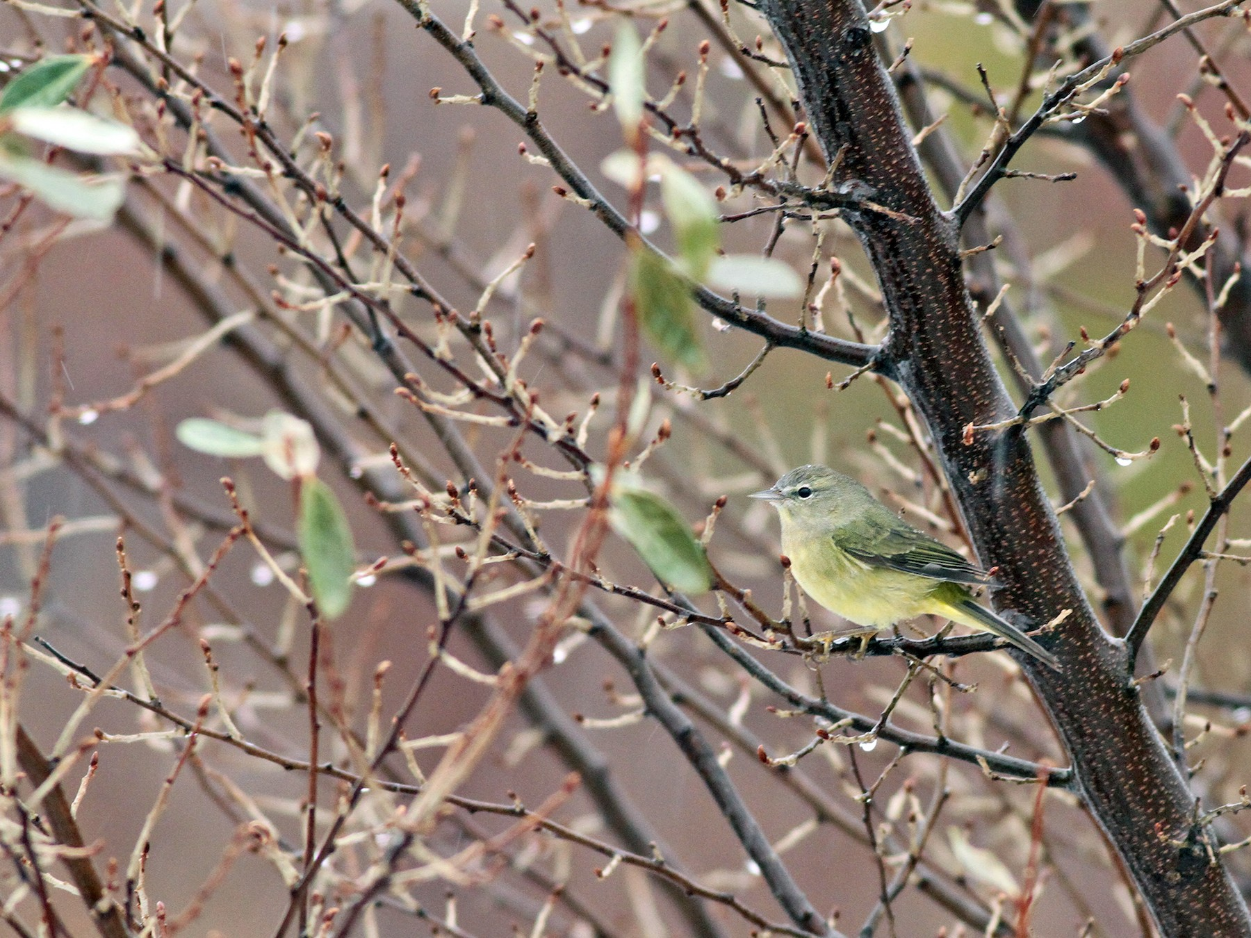 Orange-crowned Warbler - Jeremiah Trimble