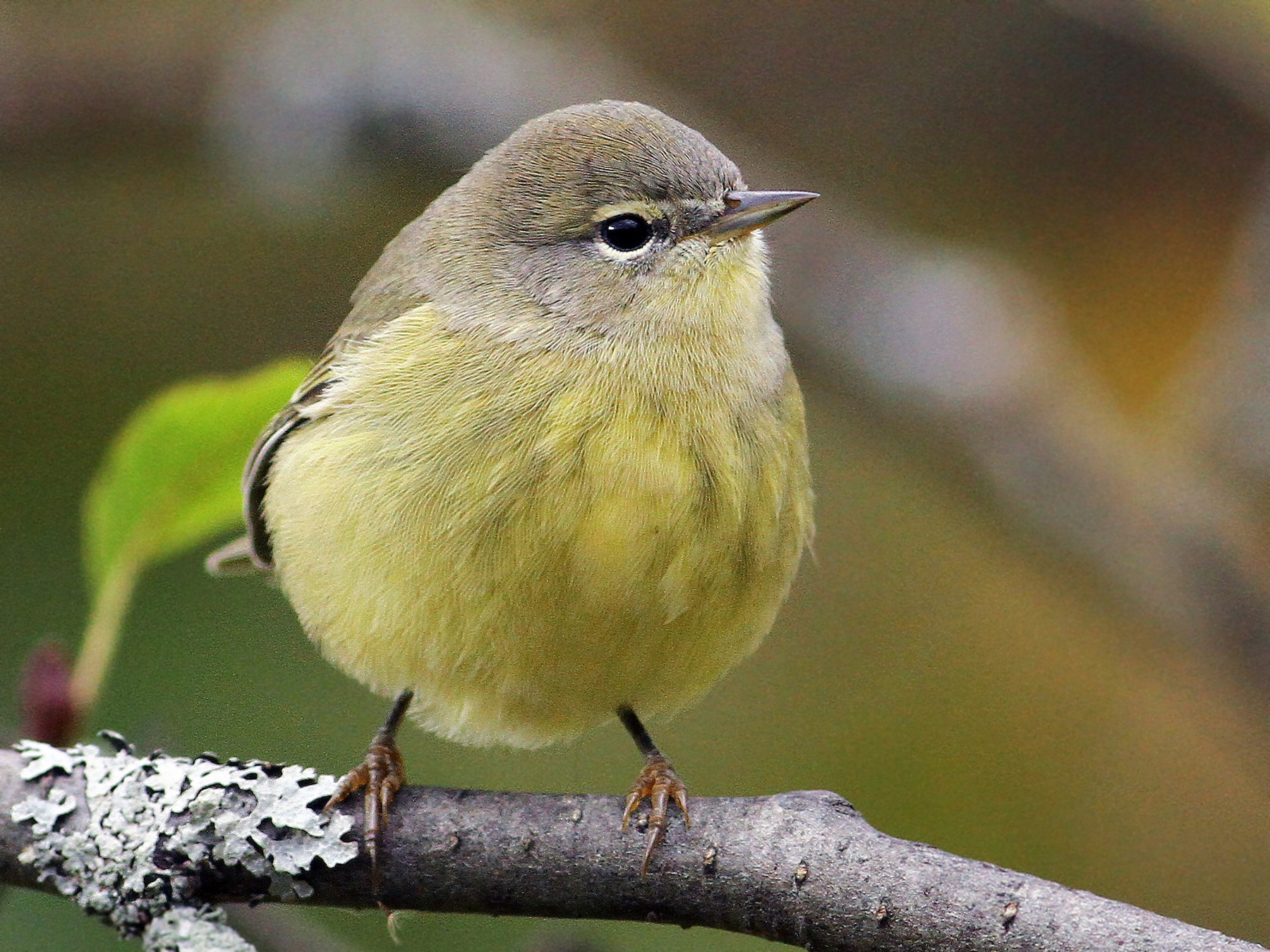 Orange-crowned Warbler - Luke Seitz