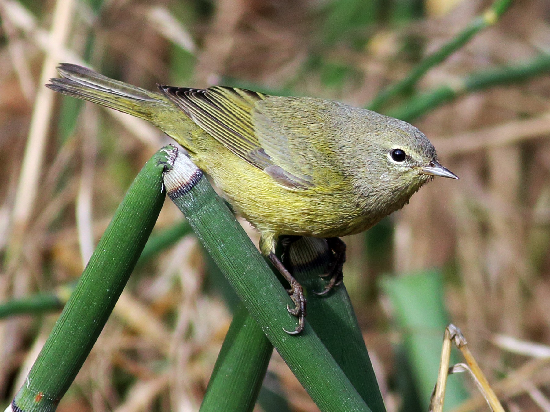 Orange-crowned Warbler - Paul Fenwick