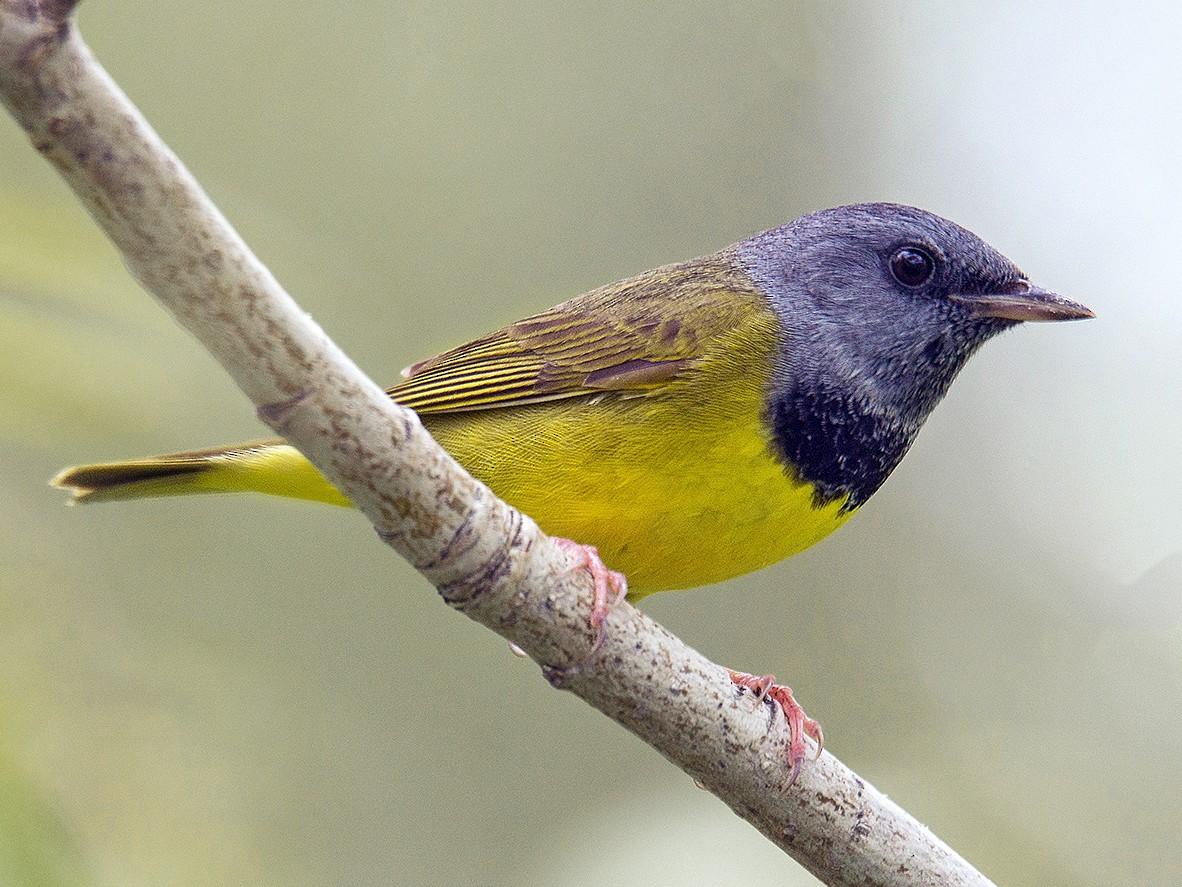 Mourning Warbler - David Turgeon