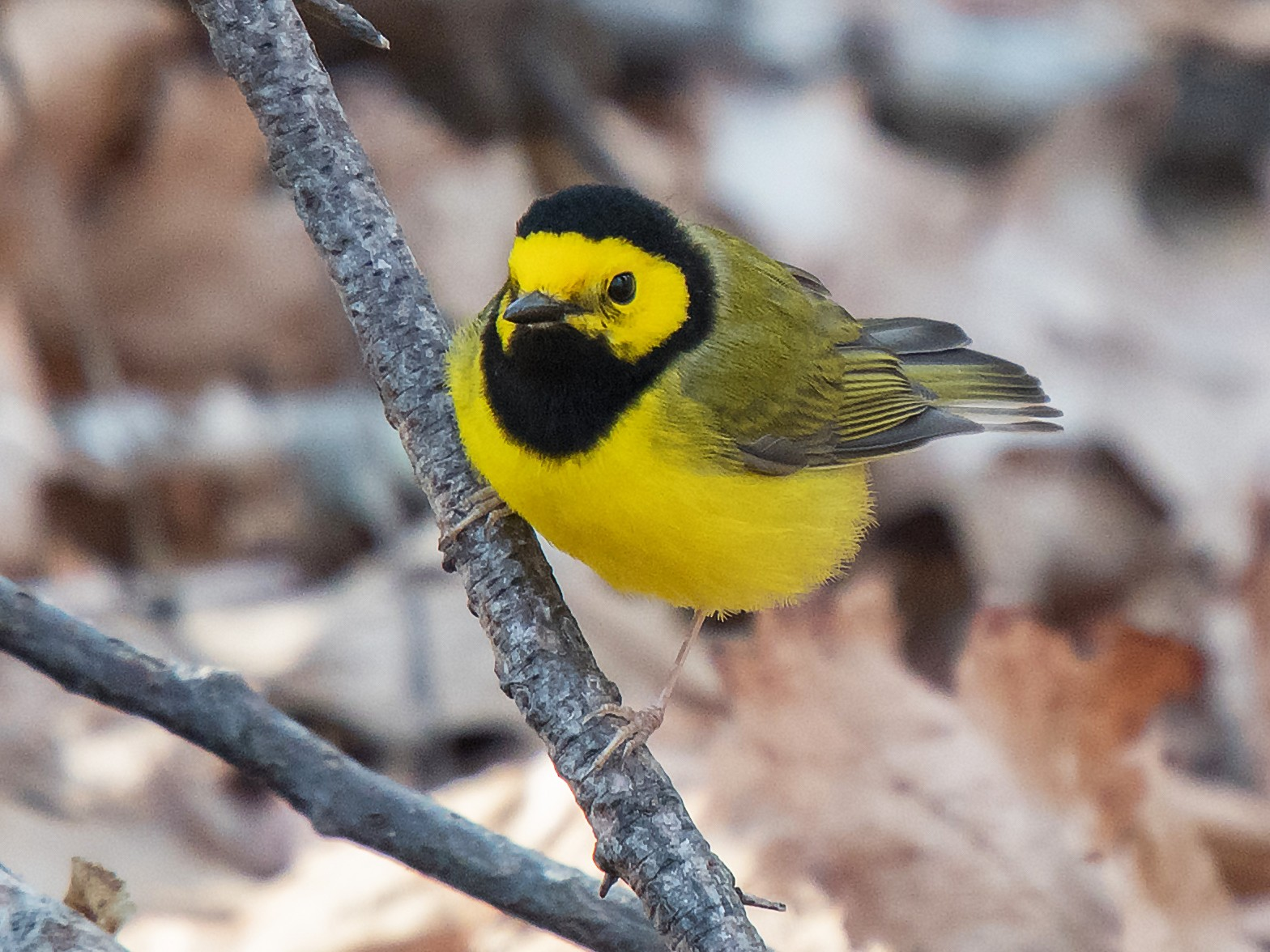 Hooded Warbler - Kevin Couture