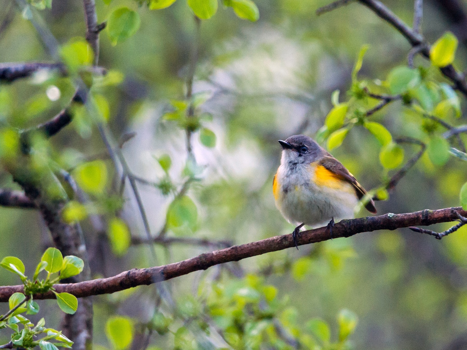 American Redstart - Taylor Long