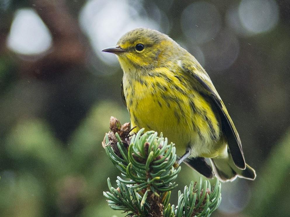 Cape May Warbler - Lucas Berrigan