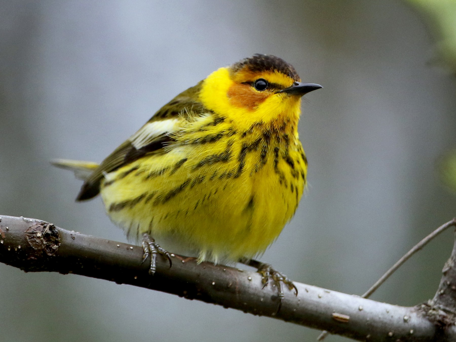 Cape May Warbler - Jay McGowan