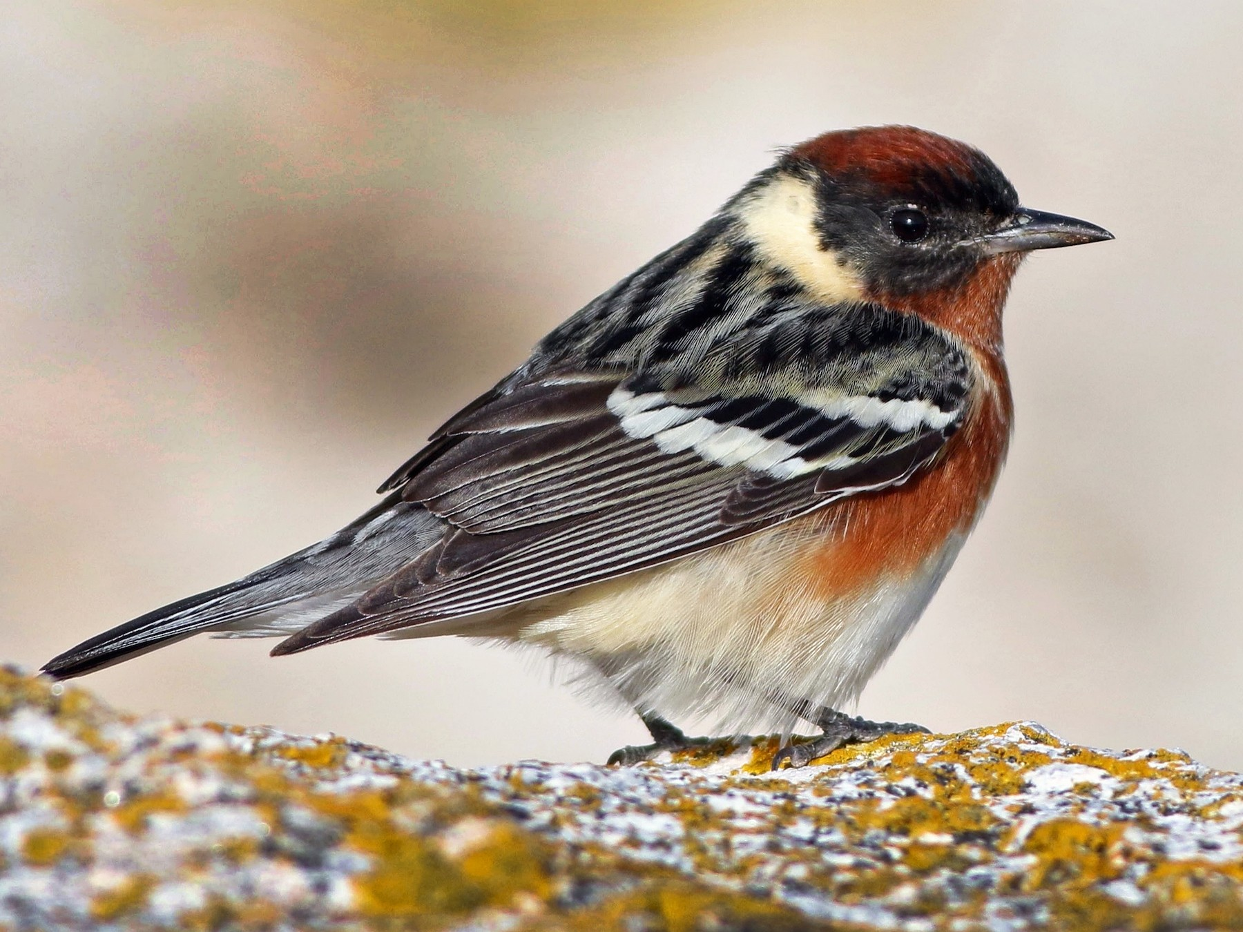 Bay-breasted Warbler - Keenan Yakola