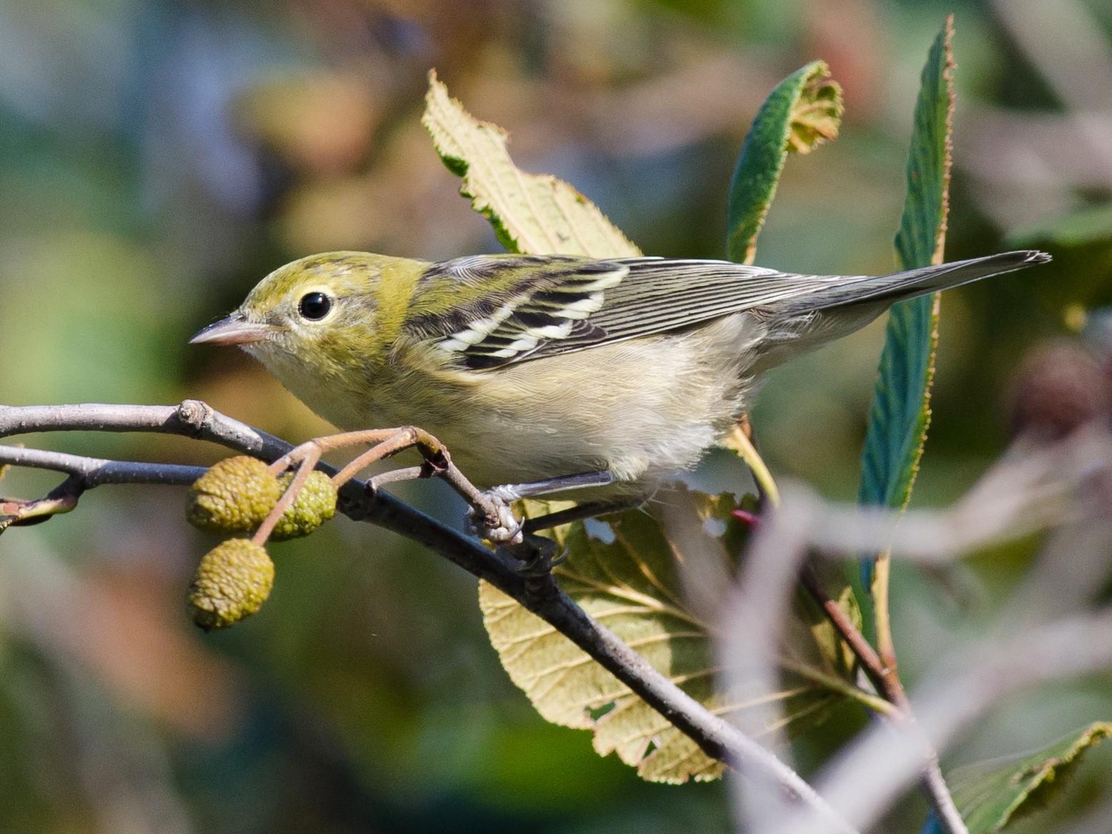 Bay-breasted Warbler - Alix d'Entremont