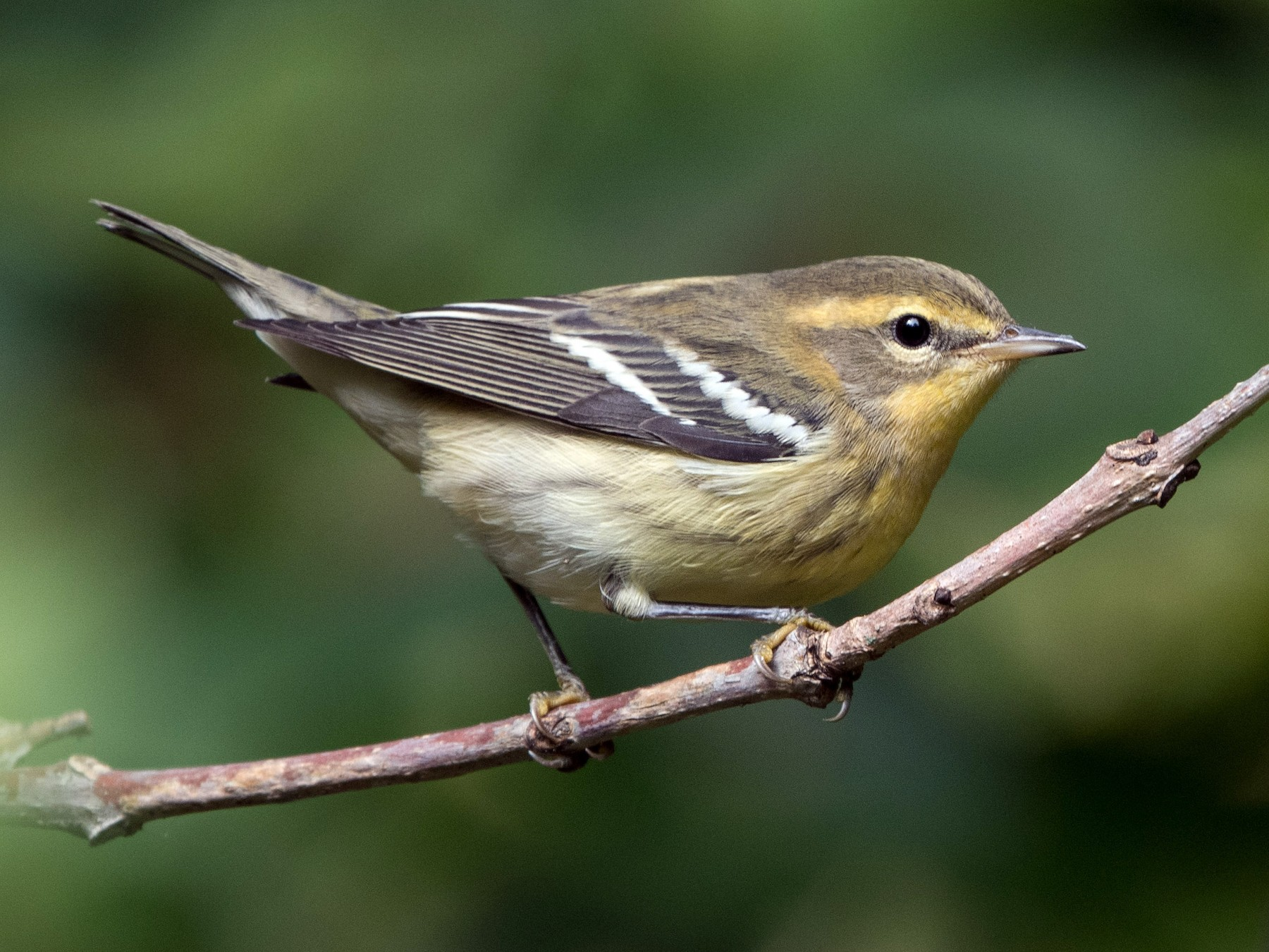 Blackburnian Warbler - William Higgins