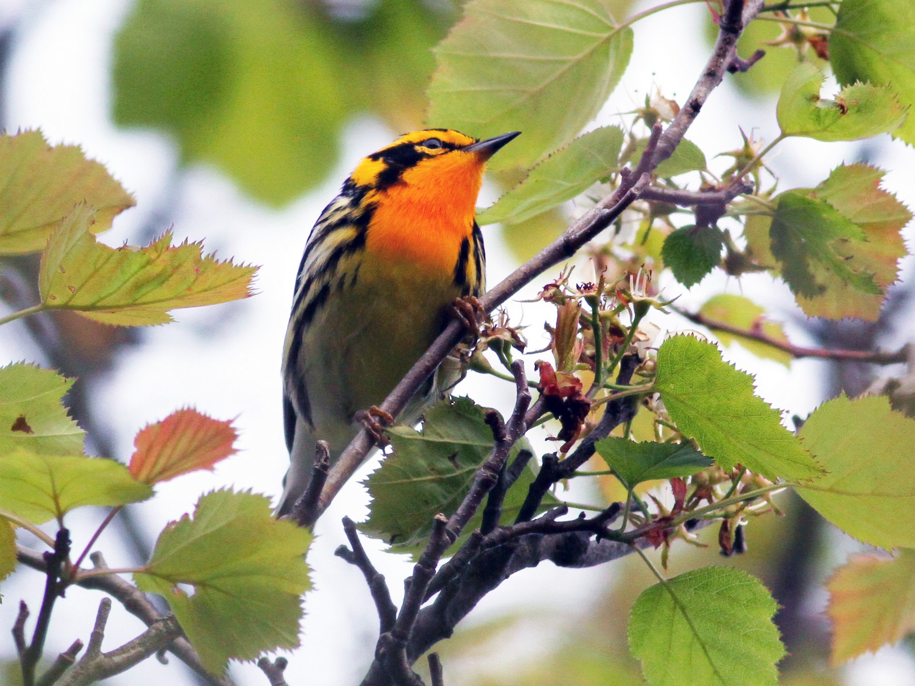 Blackburnian Warbler - Jay McGowan