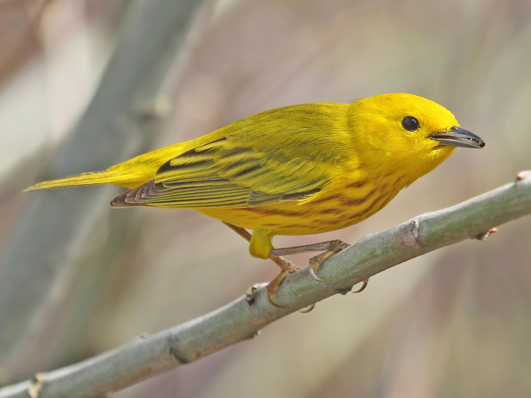 Yellow Warbler - Ryan Schain