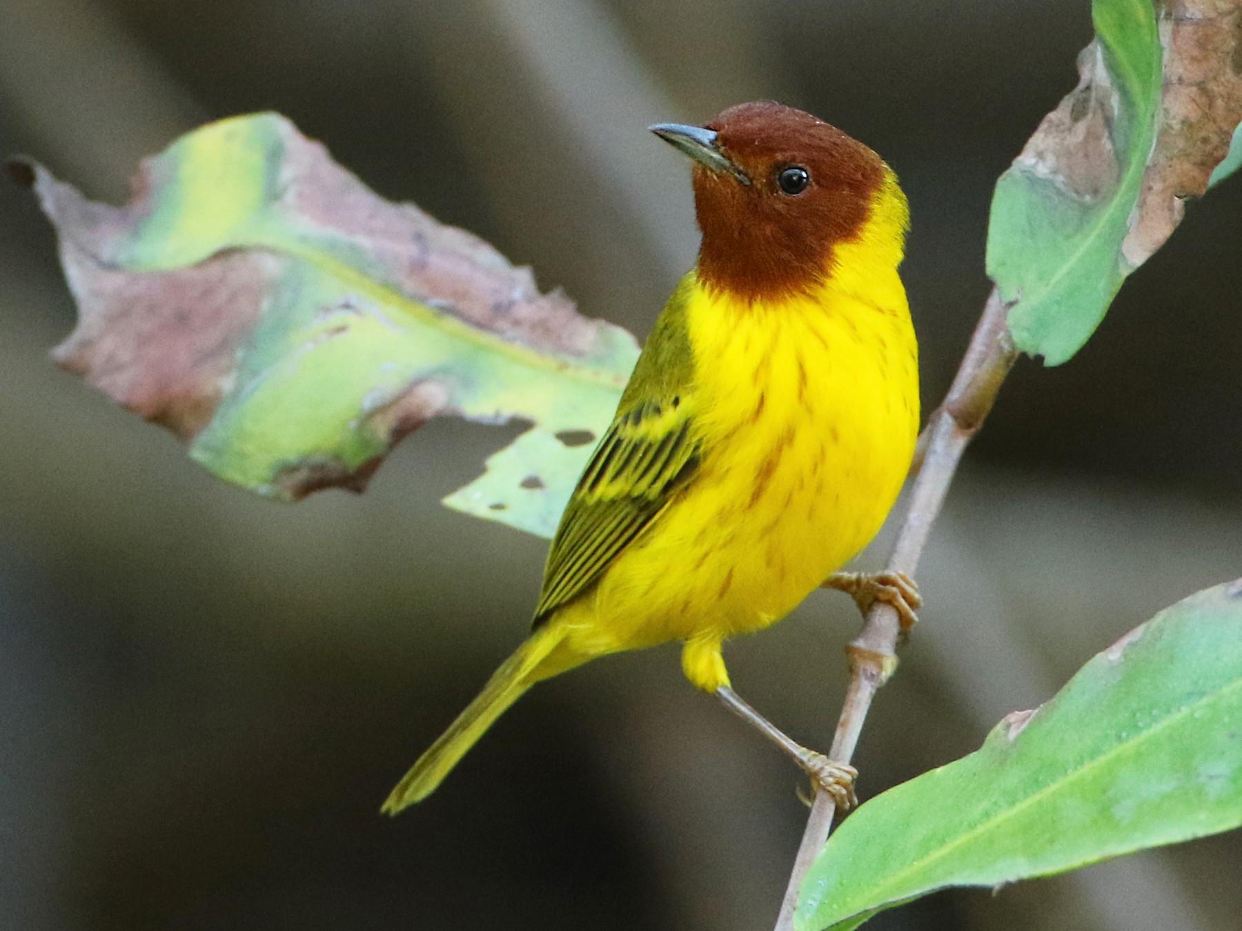 Yellow Warbler - Luke Seitz