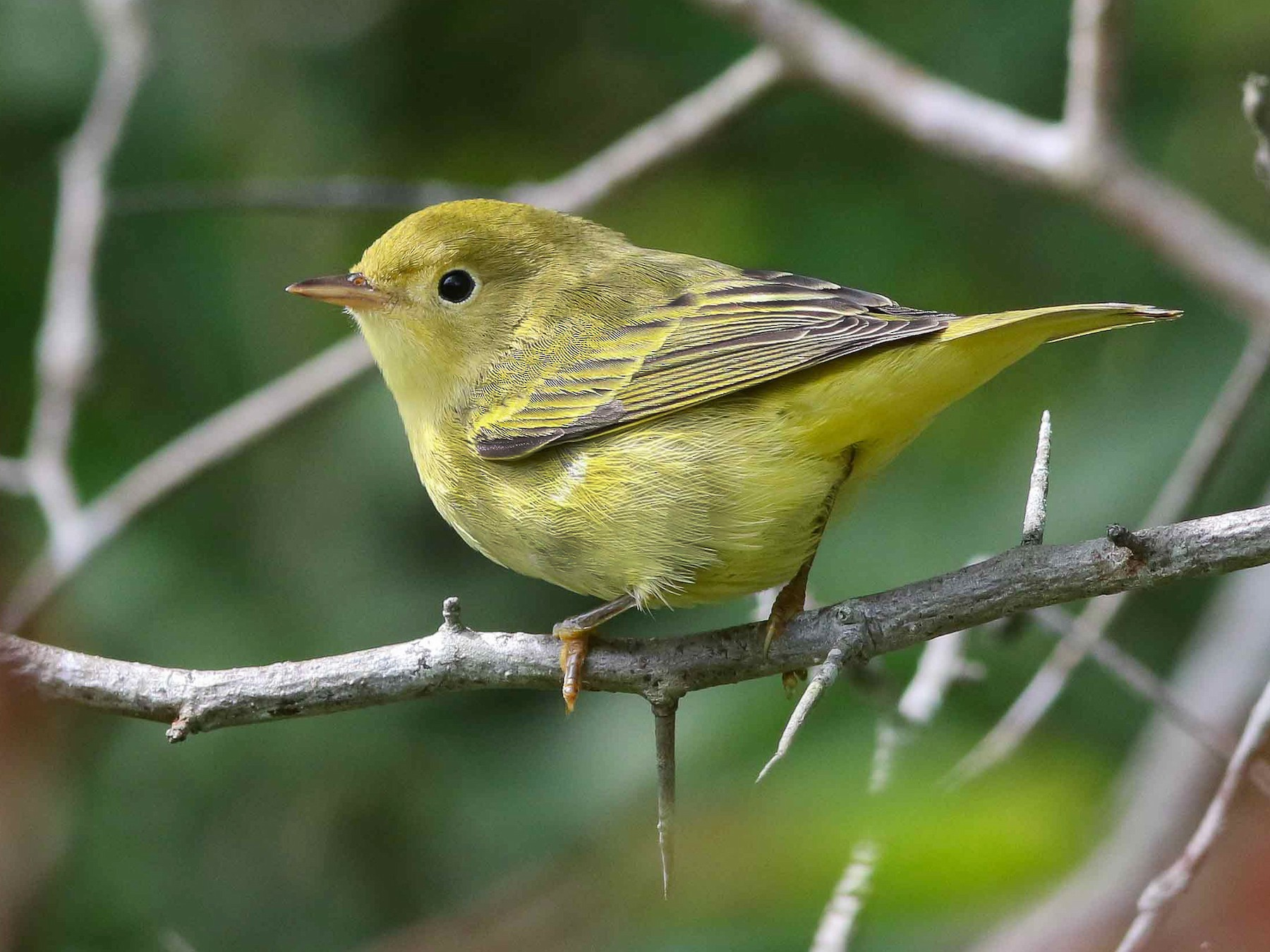 American Yellow/Mangrove Warbler - Michael O'Brien