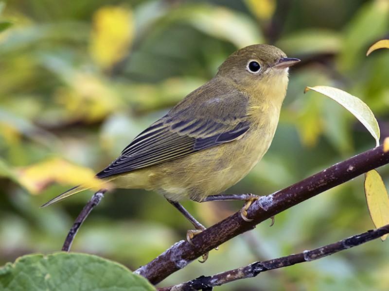 Yellow Warbler - Zak Pohlen